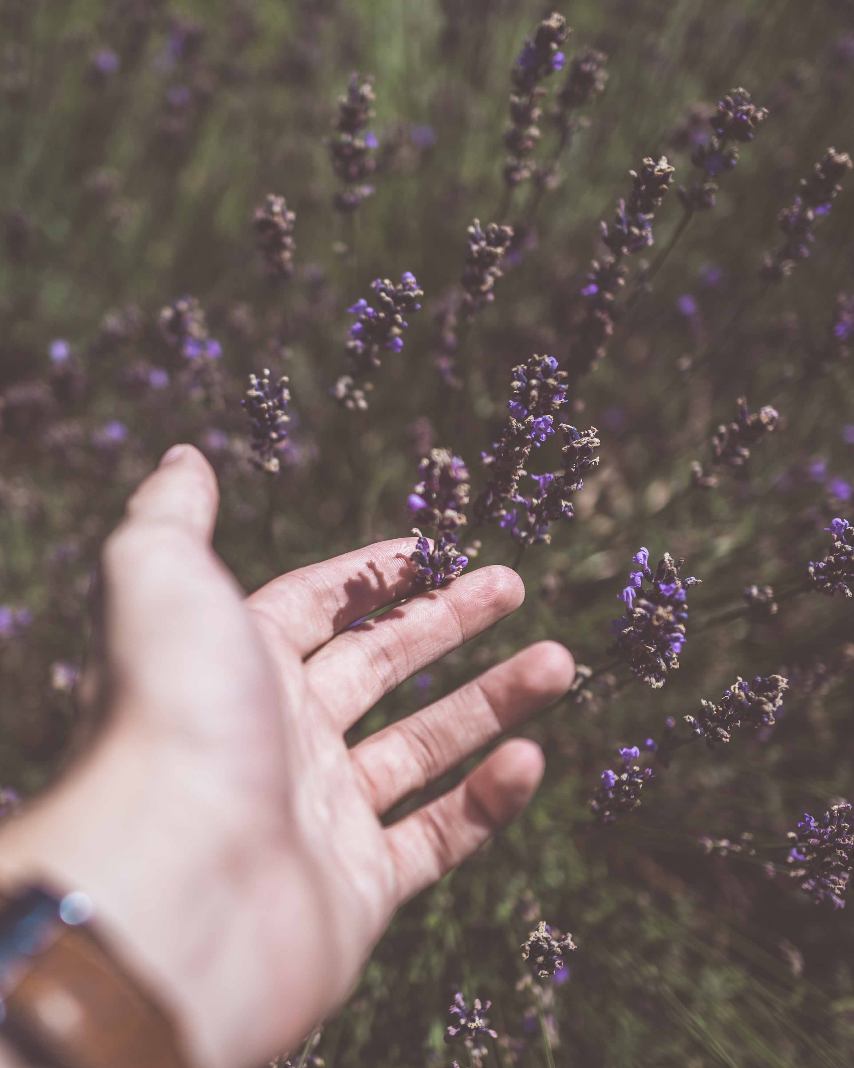 photo of person touching purple cluster flower