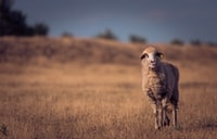 selective focus of brown animal walking on green grass field
