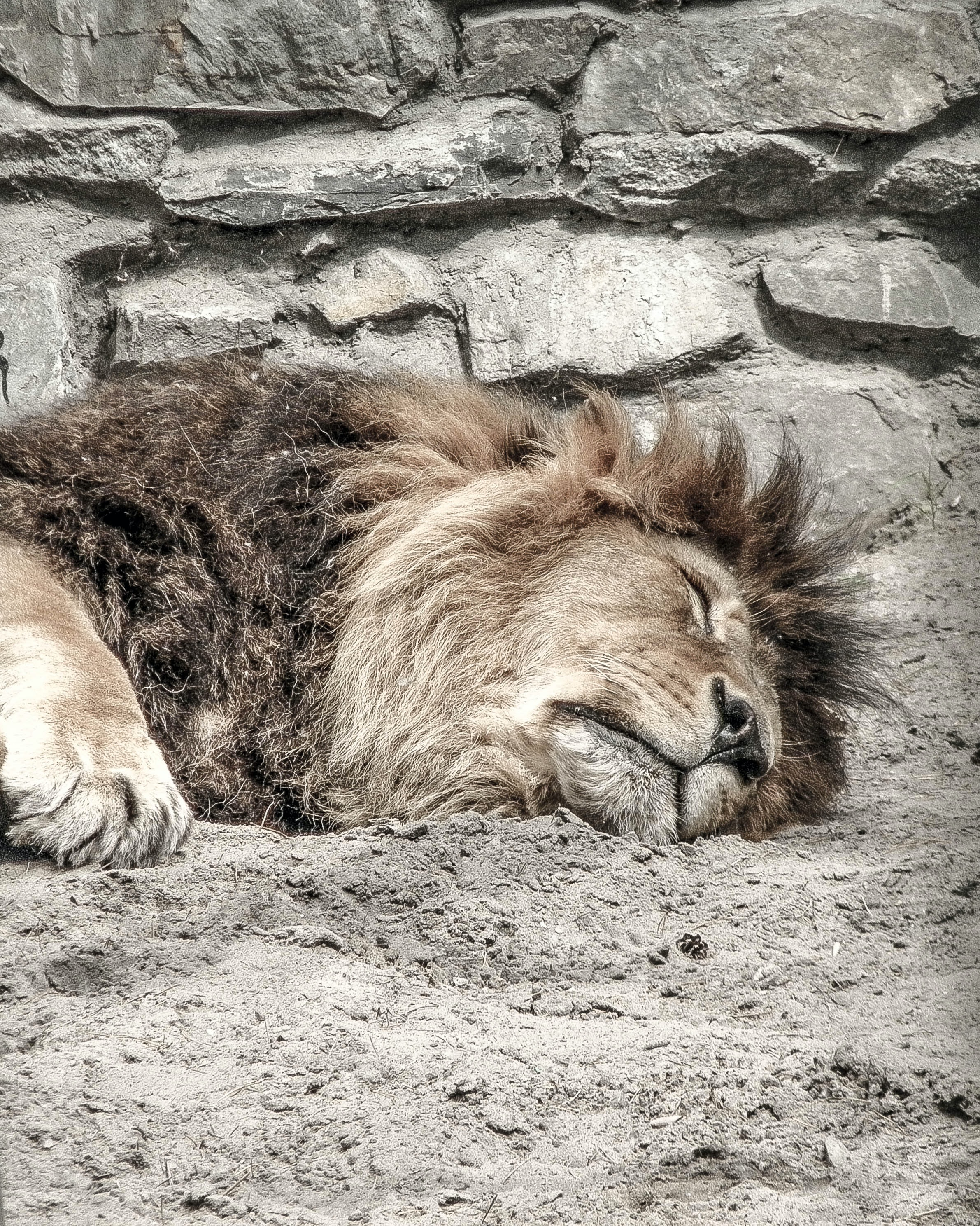 brown lion lying on gray soil during daytime