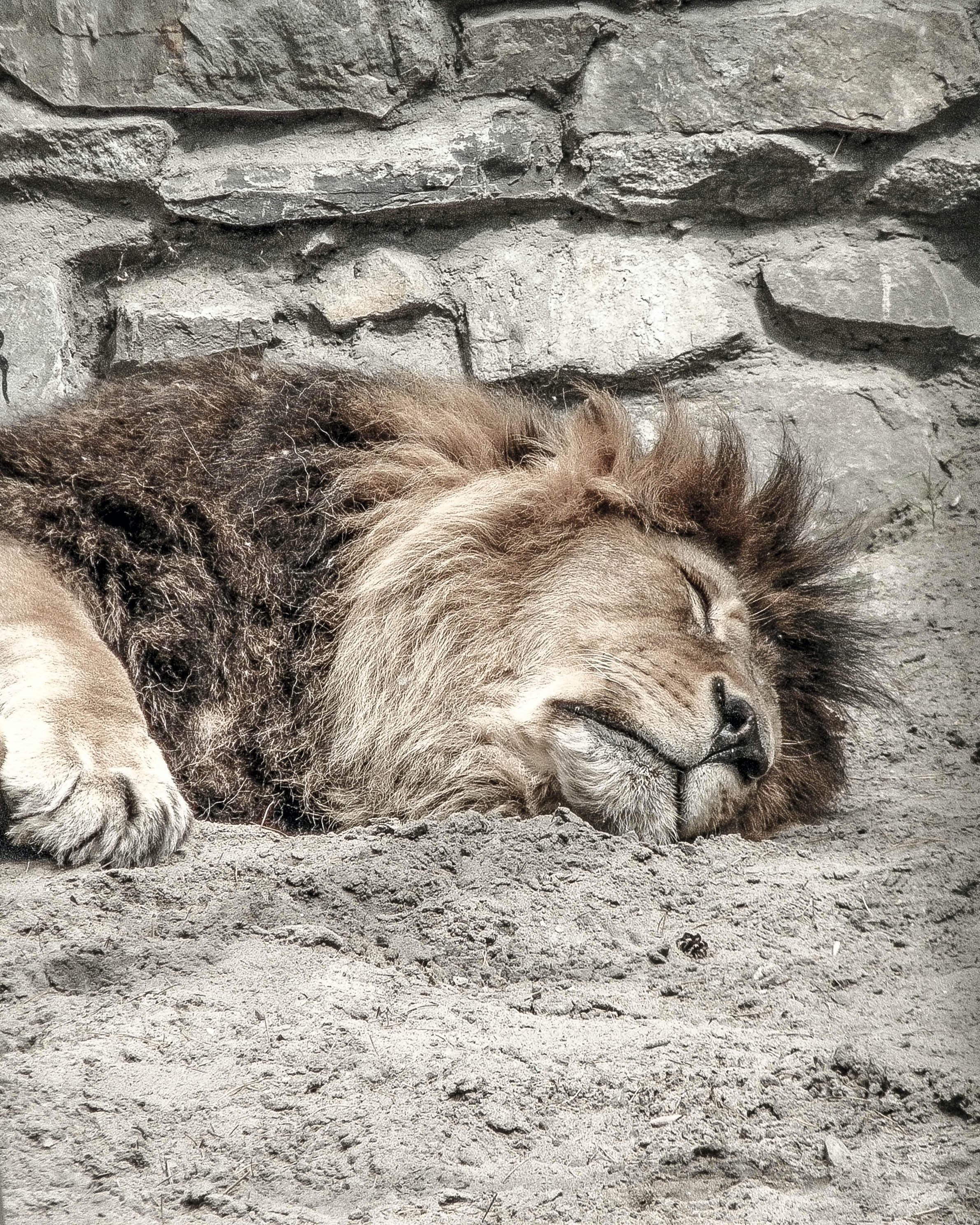 brown lion lying on gray soil during daytime