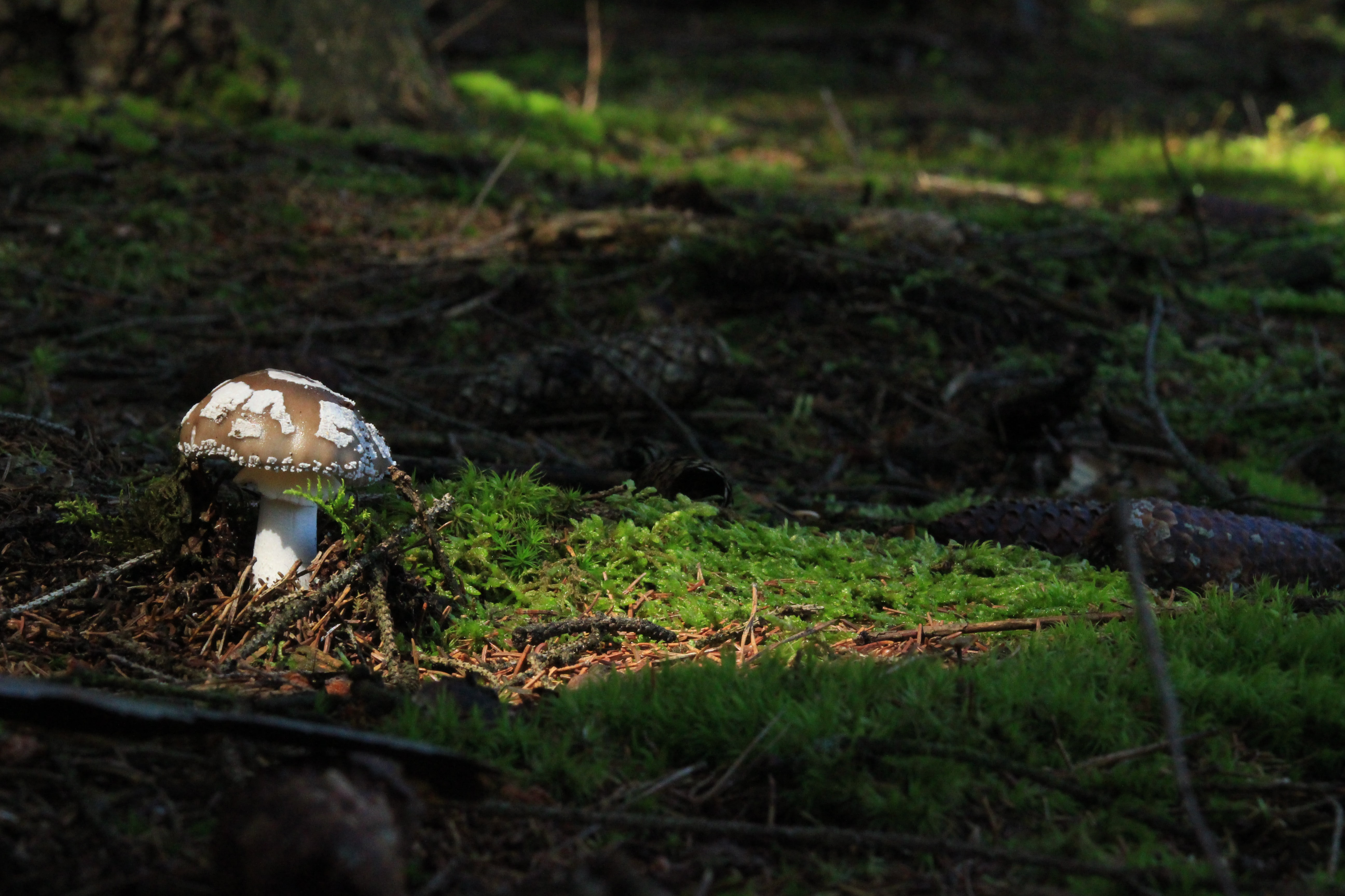 A mushroom with white spores on it illuminated by the sun in a shaded forest undergrowth littered by pinecones