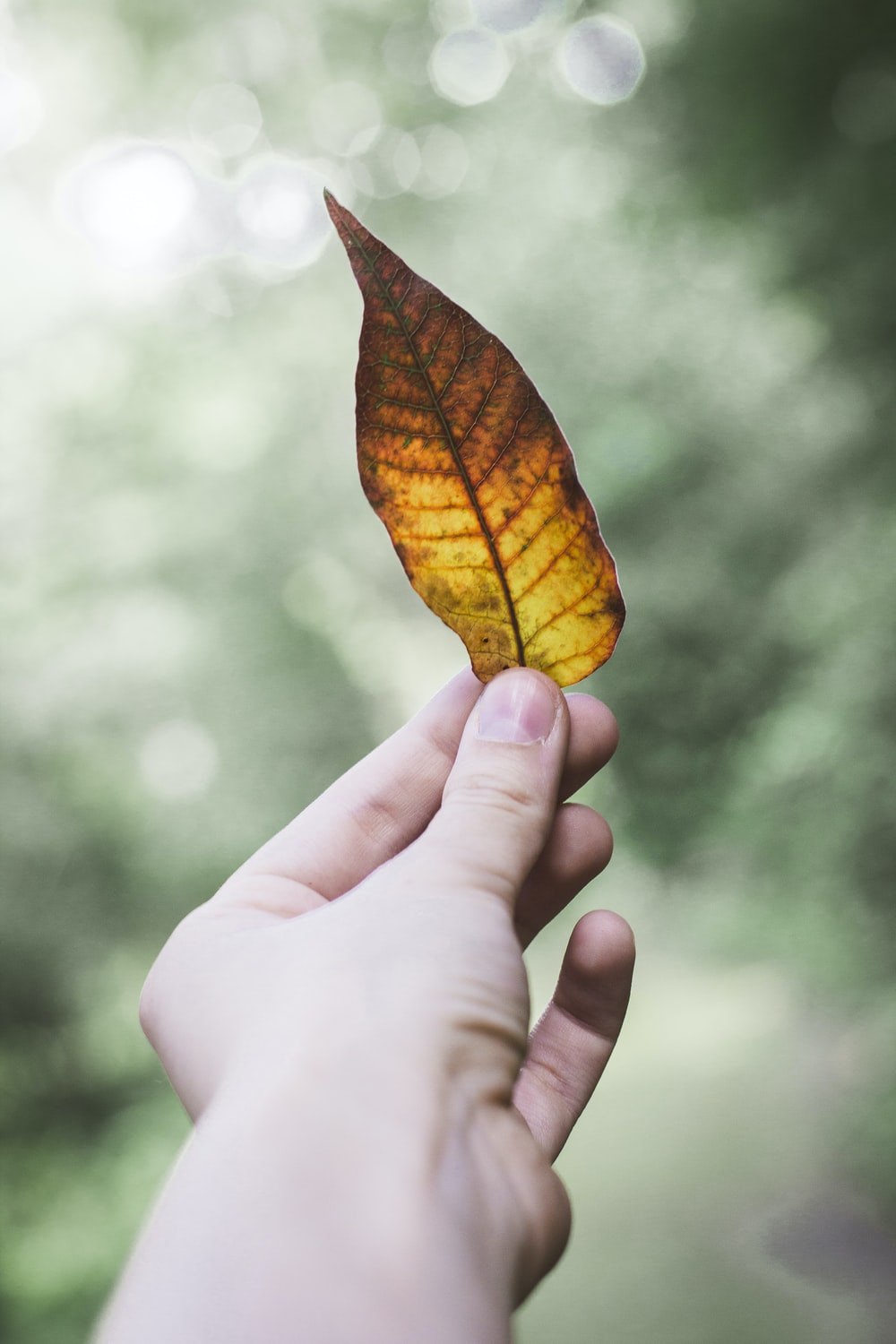 person holding dry leaf