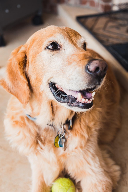 selective focus photo of golden retriever dog
