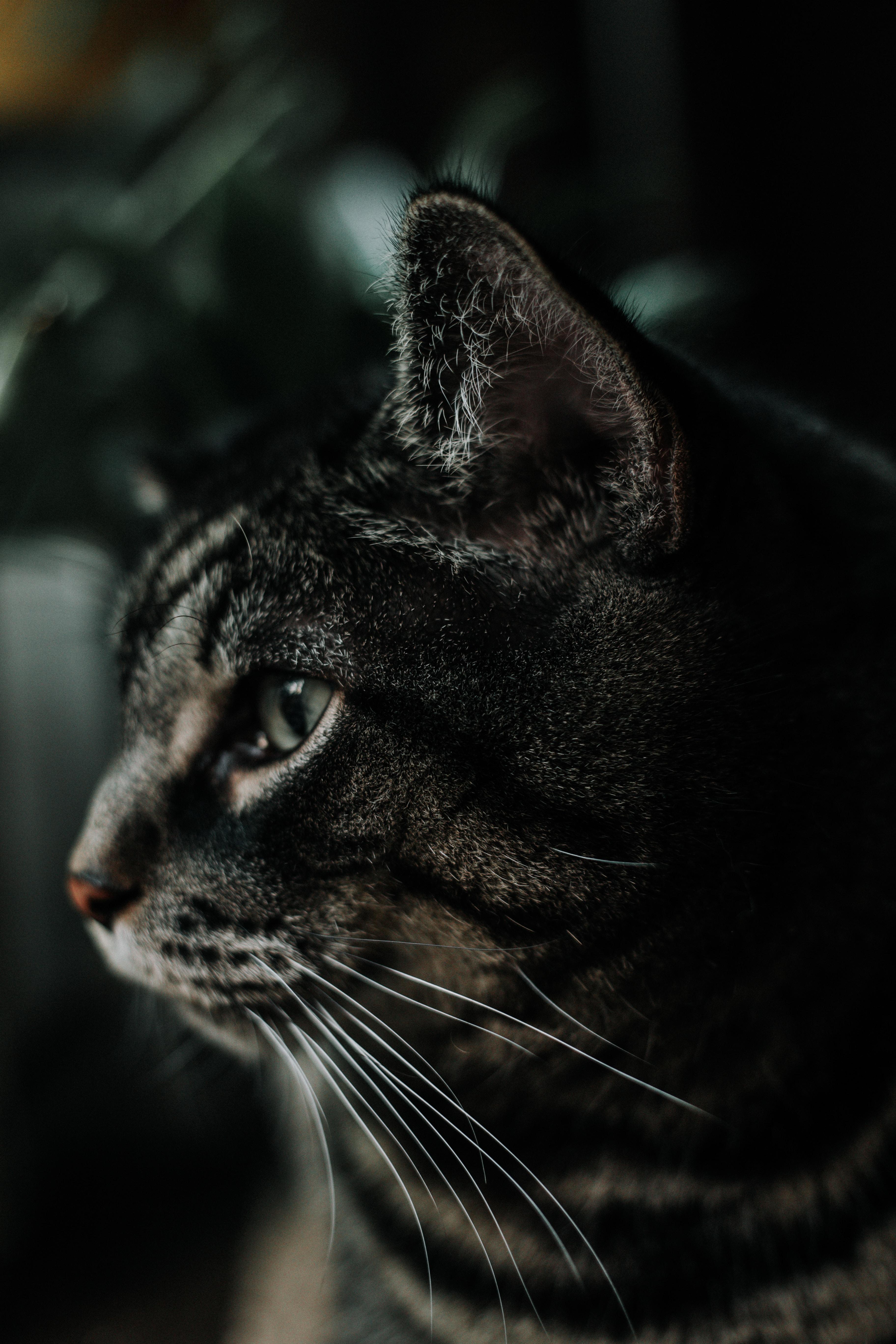 A dark grey tabby cat