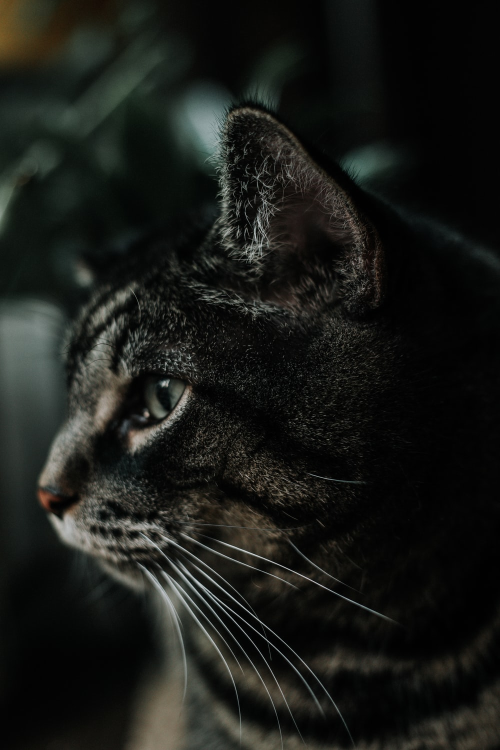 black and gray cat