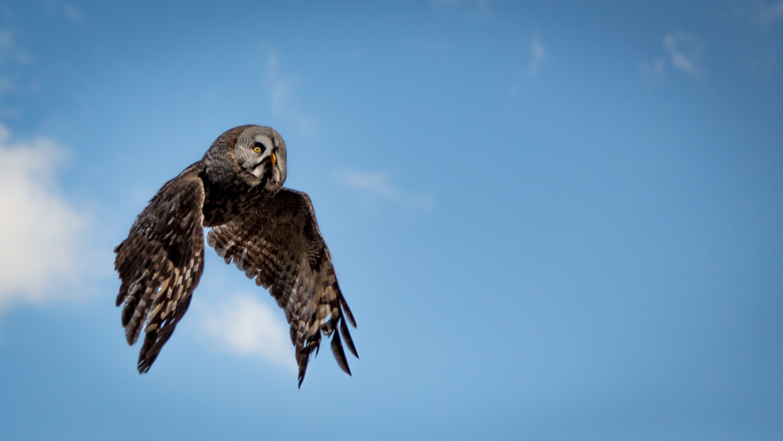 Wild owl flies across a blue sky toward its prey