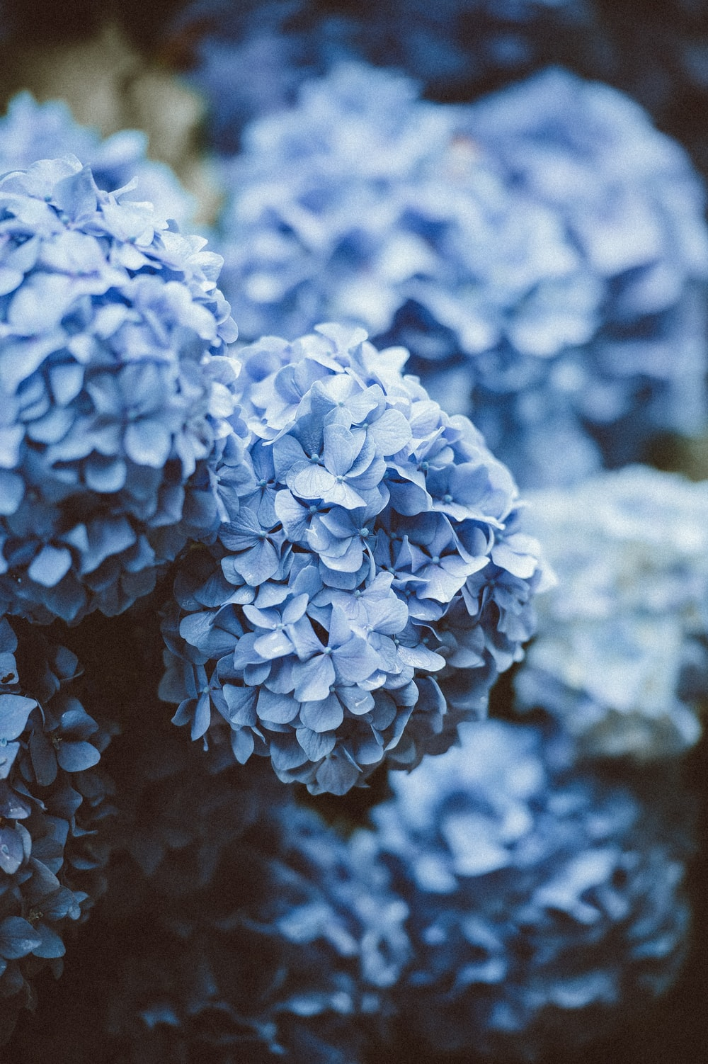 blue hydrangea hd photo by annie spratt anniespratt