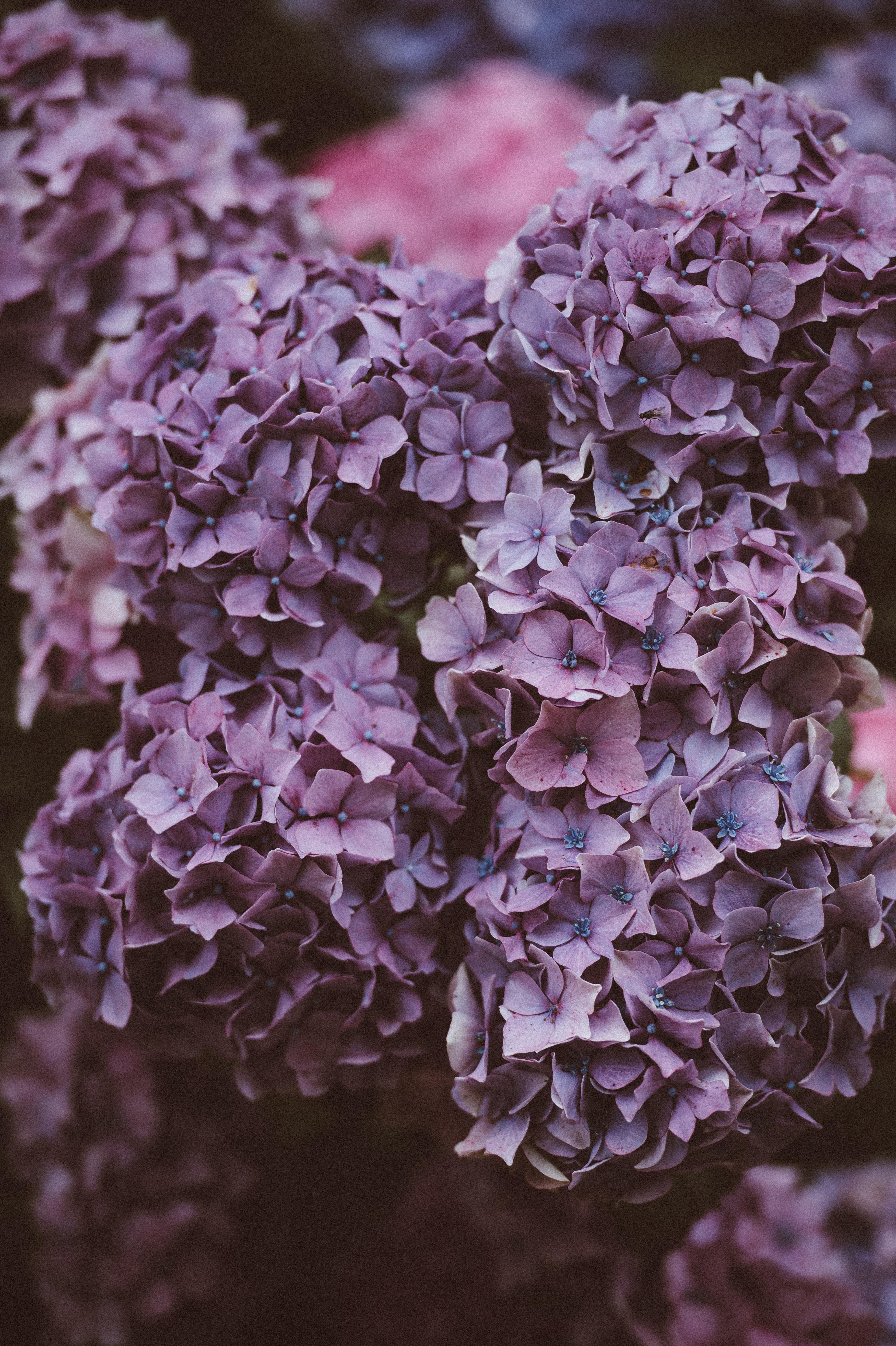 close-up photo of Hydrangea flowers
