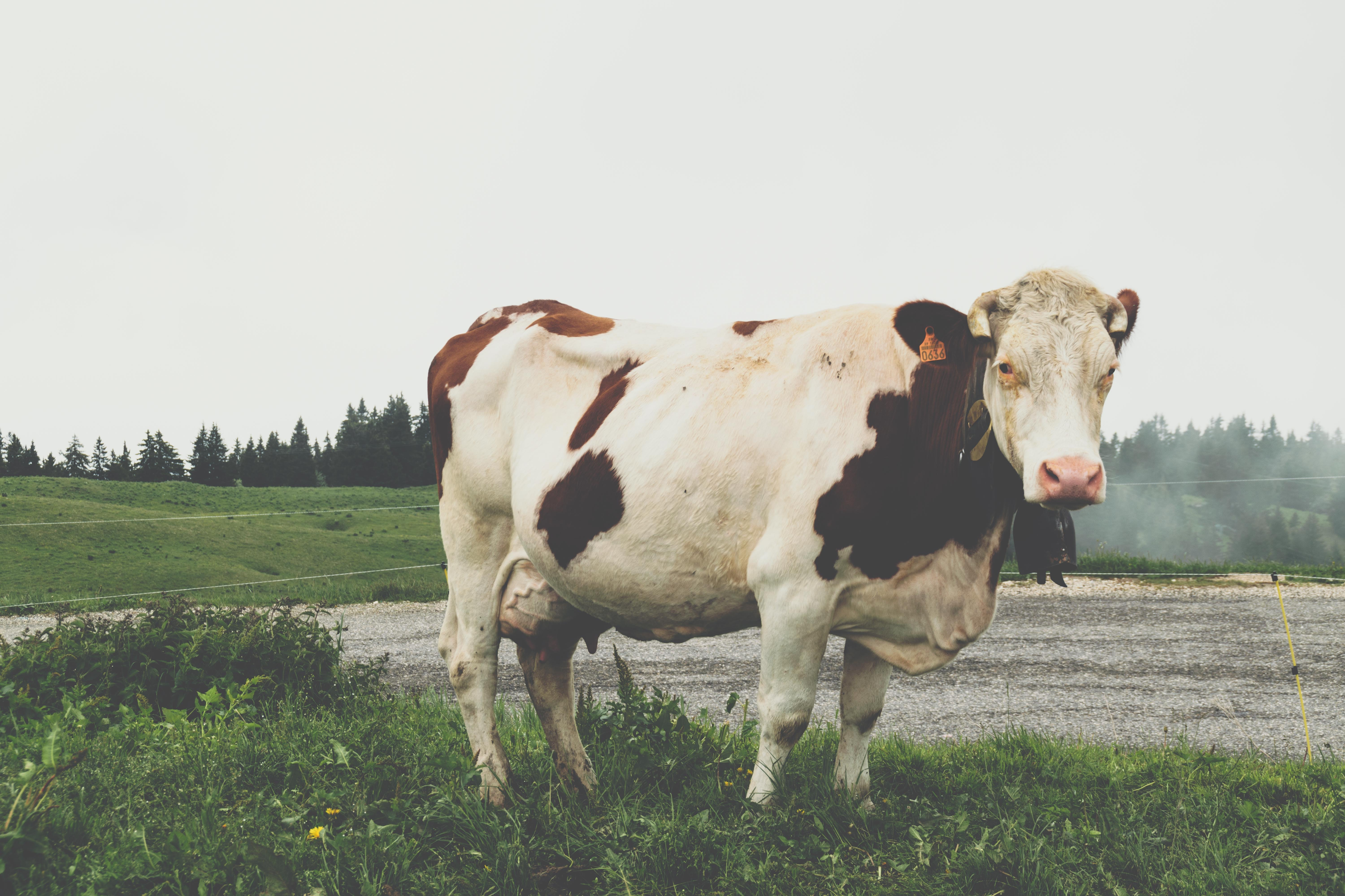 A cow standing in a field and looking at the camera.