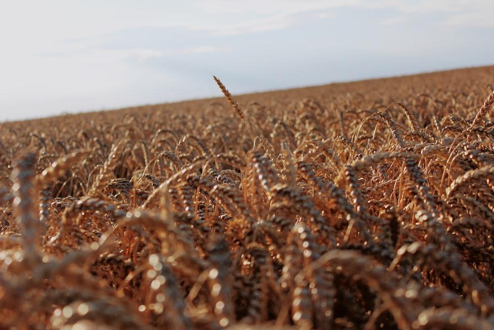 brown grain field