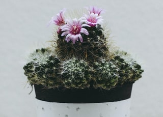 pink barrel cactus flowers in white pot