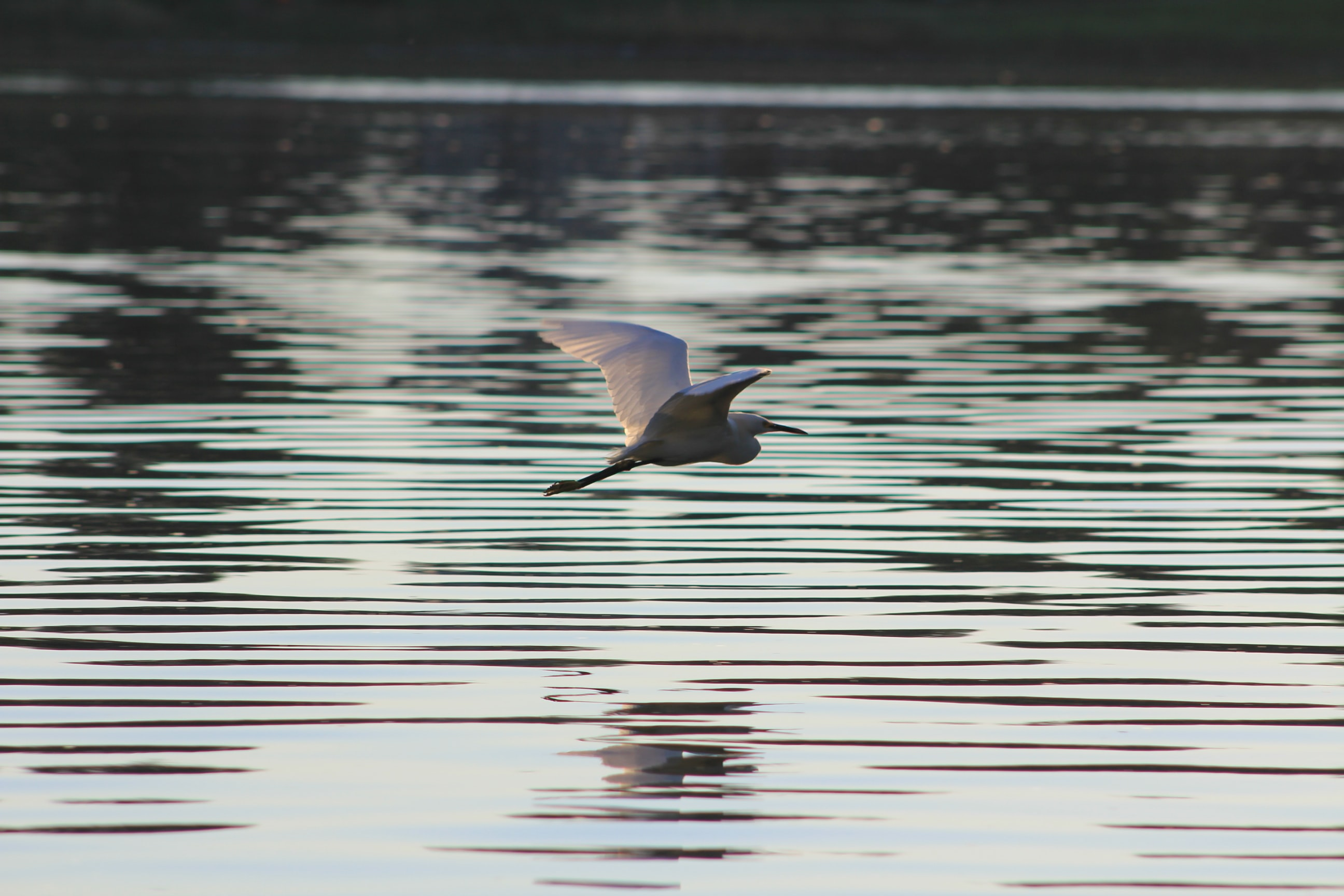 gray bird flying above body of water