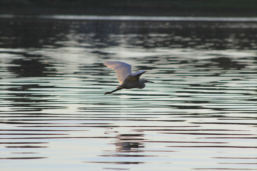 gray bird flying above body of water