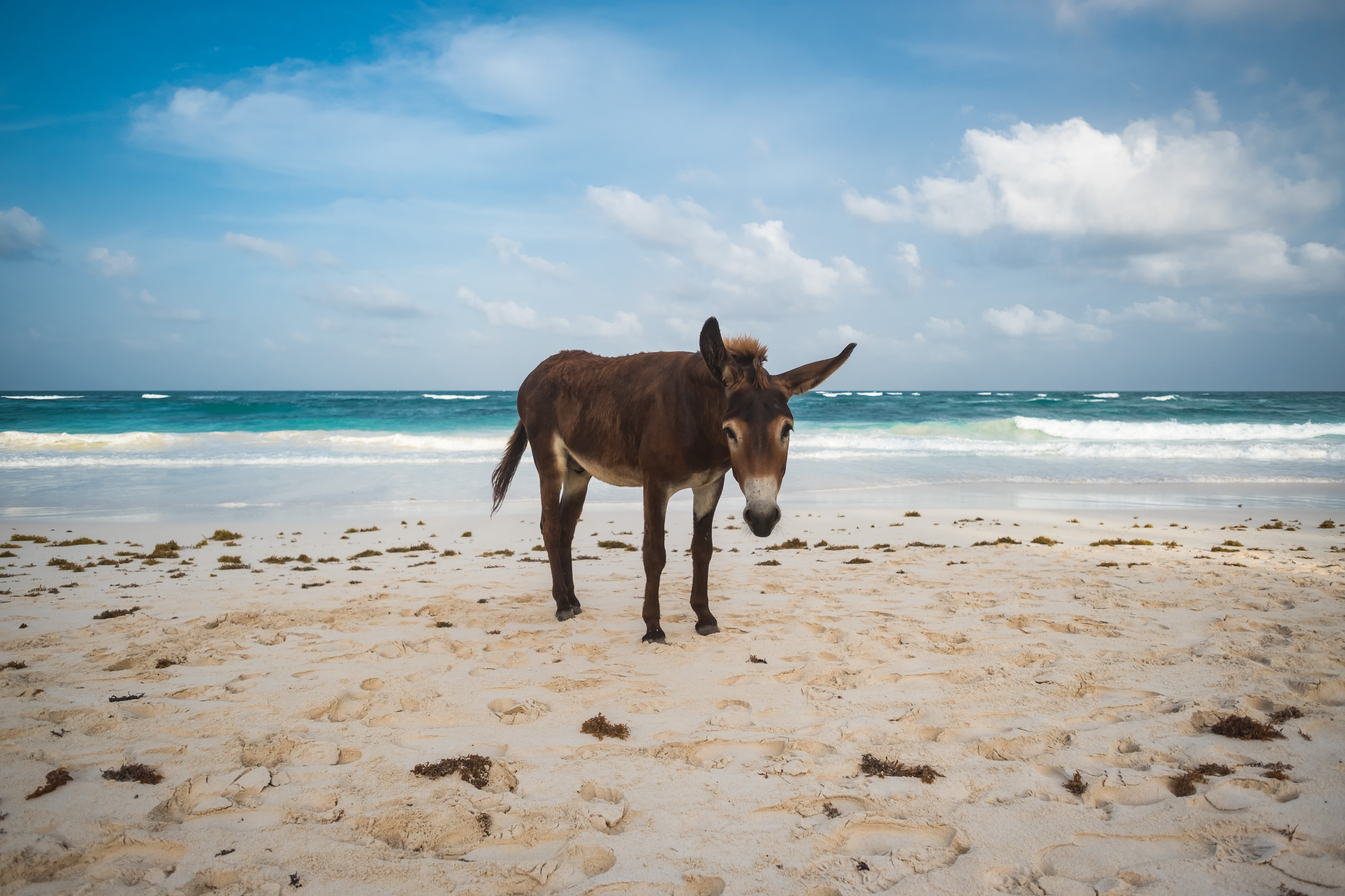A lone donkey standing on a sandy beach near the ocean in Tulum