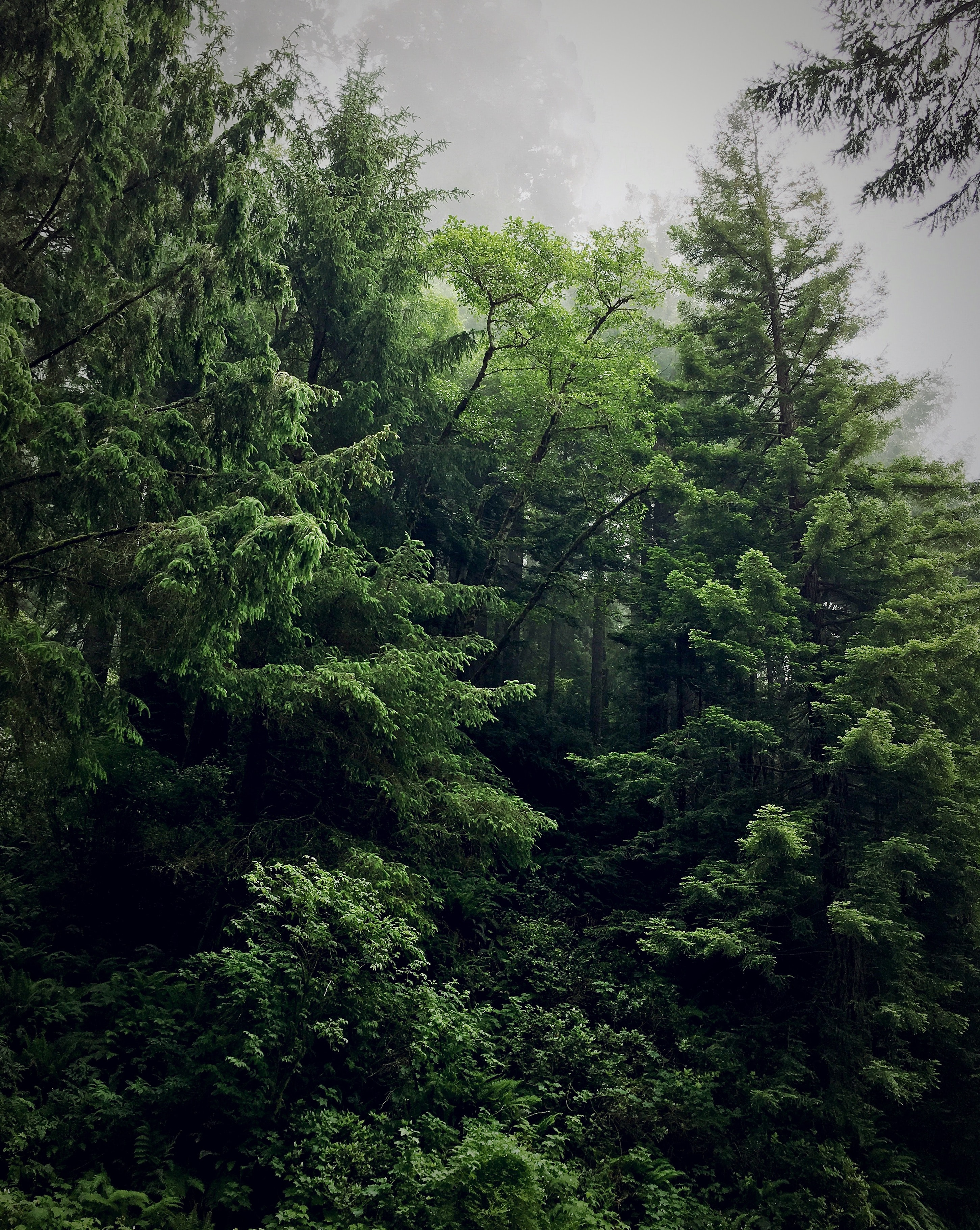 Lush green pine forest on a foggy evening