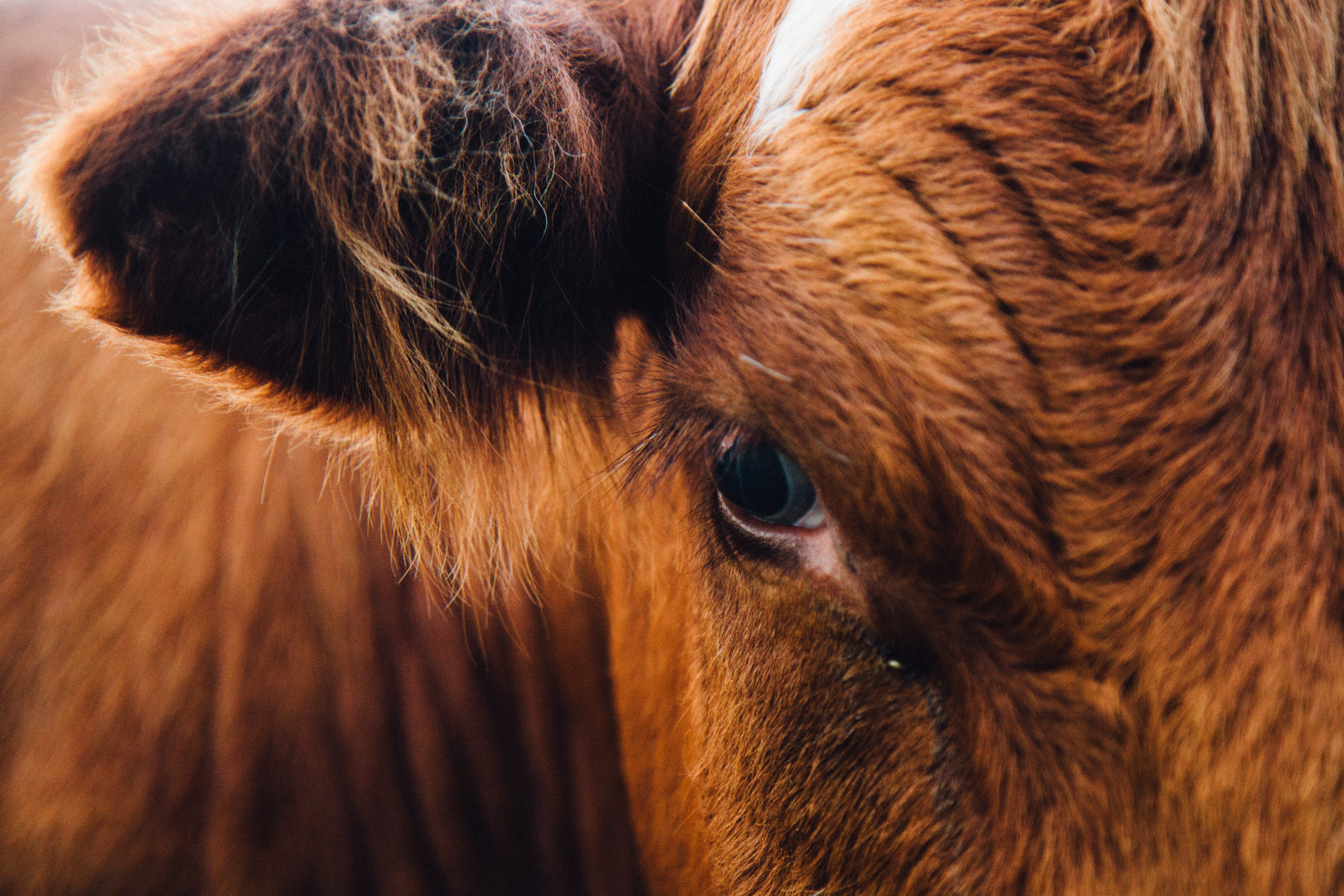 Macro of a brown hairy cow with its eye and ear in focus