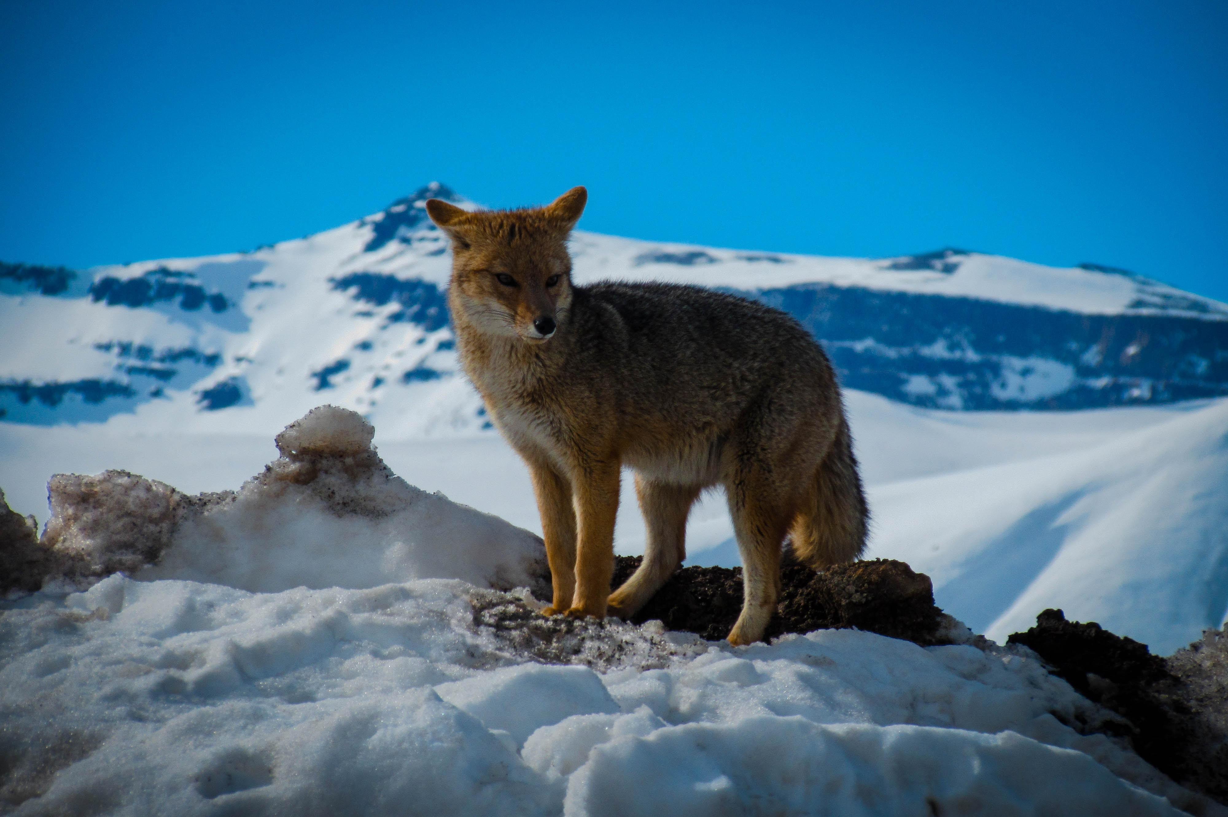 red fox near snowy mountain under blue sky