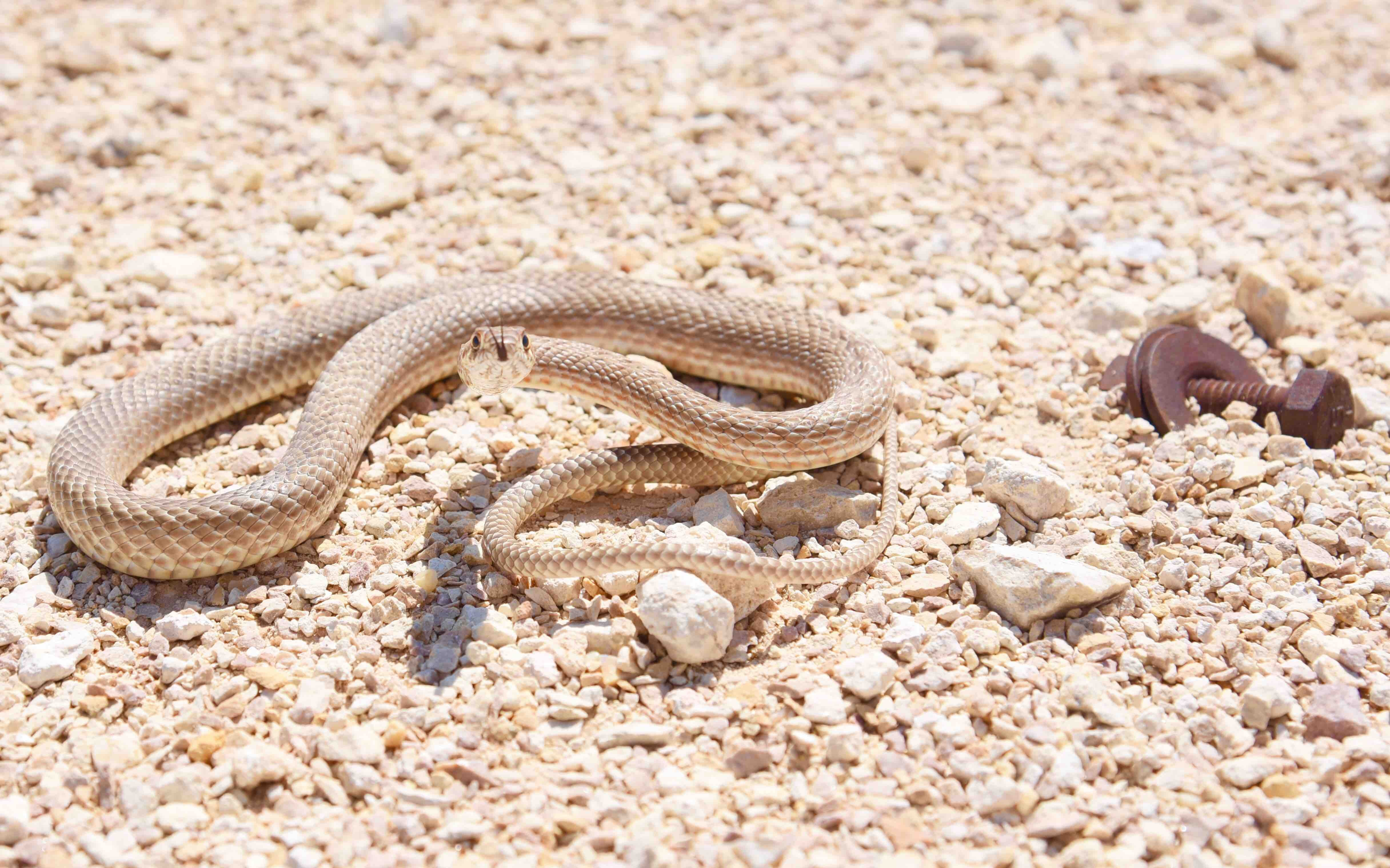 Snake stares down its prey in the sandy gravel
