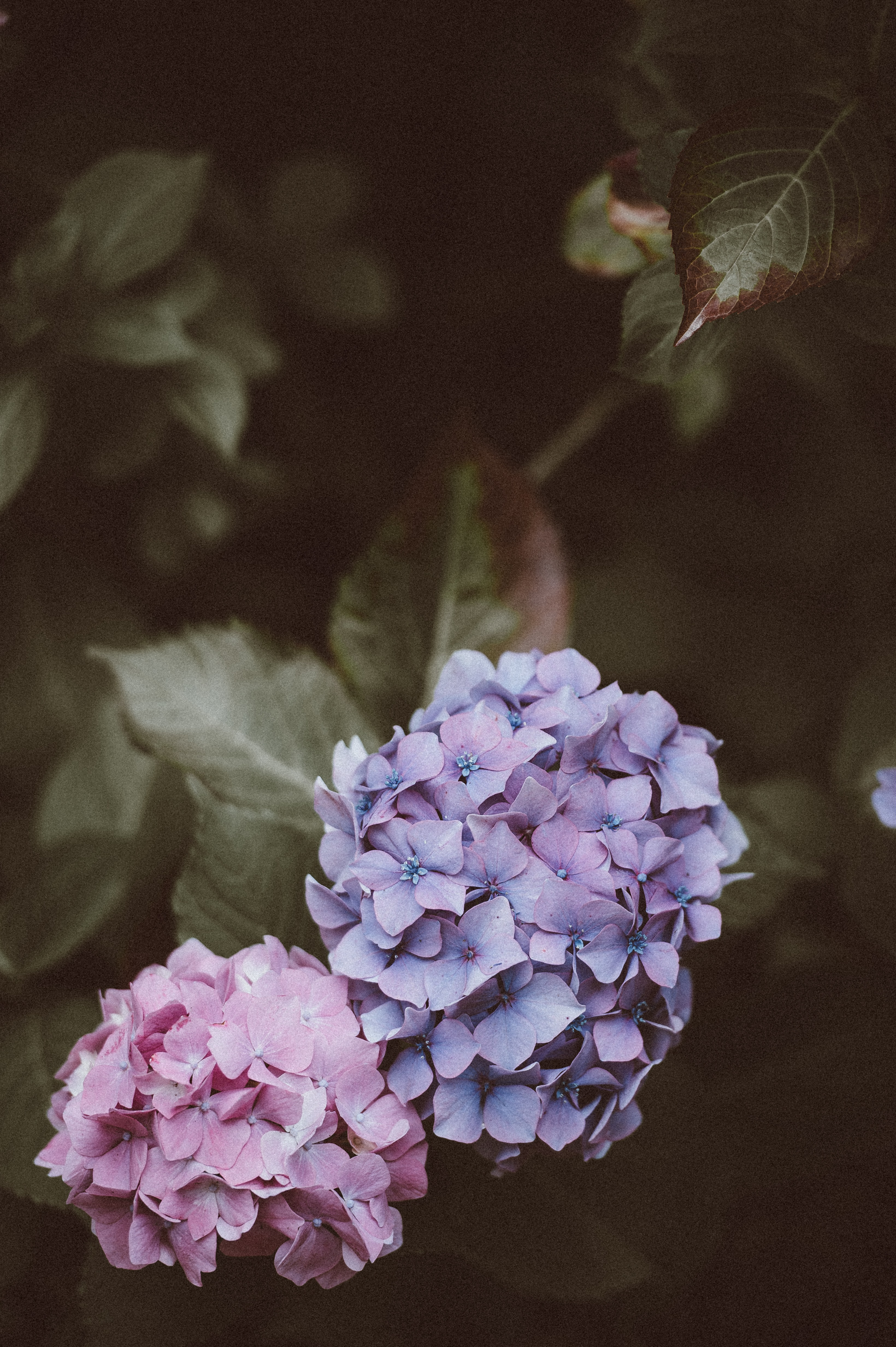 selective focus photography of purple and pink hydrangea flowers