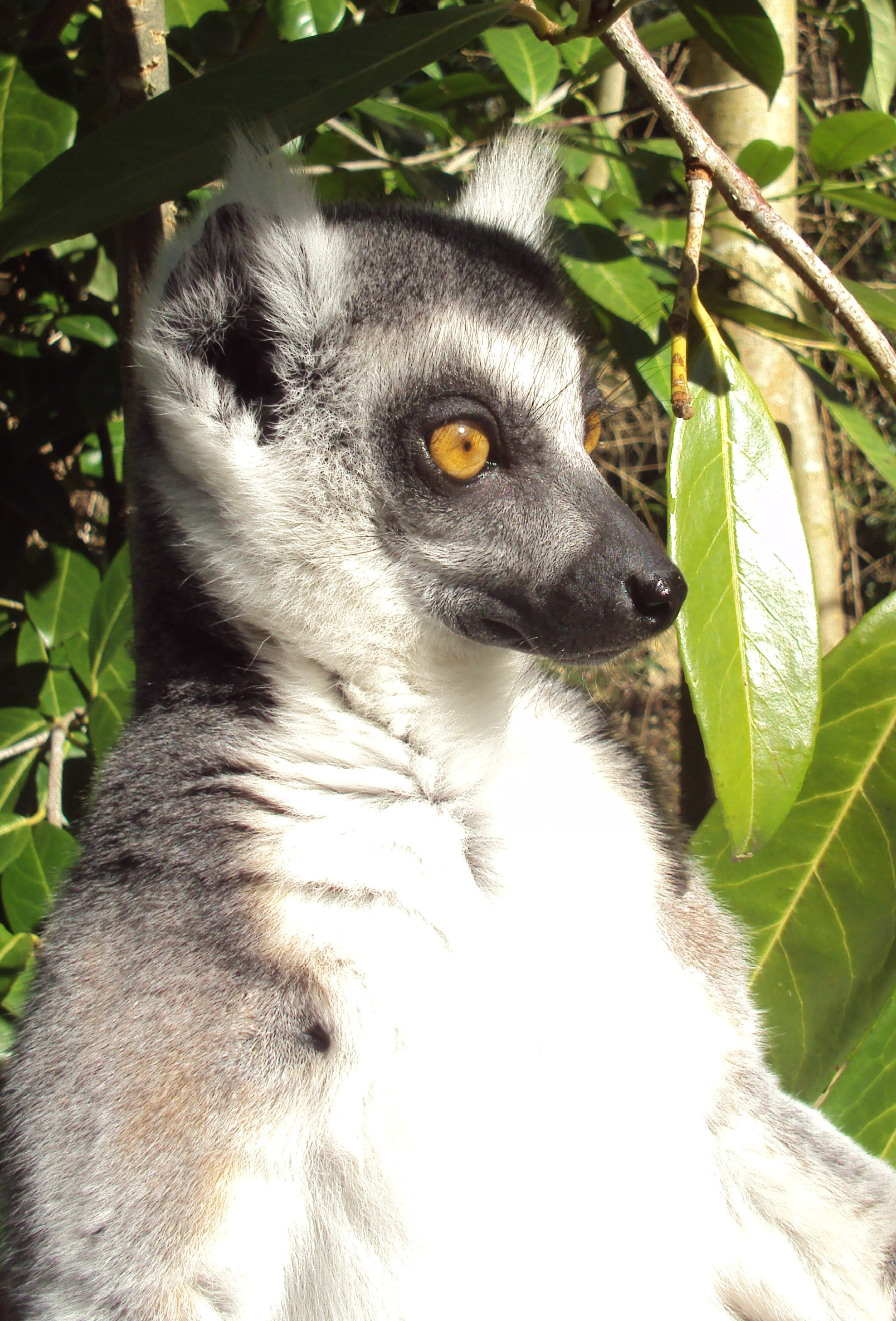 Lemur standing by a tree