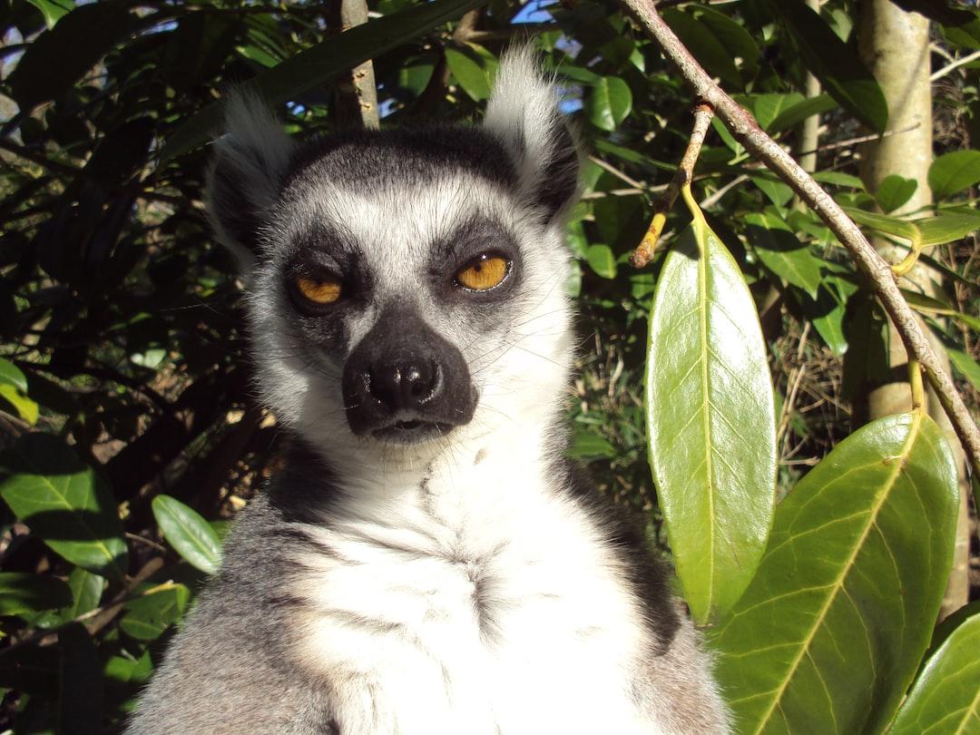 Lemur expression