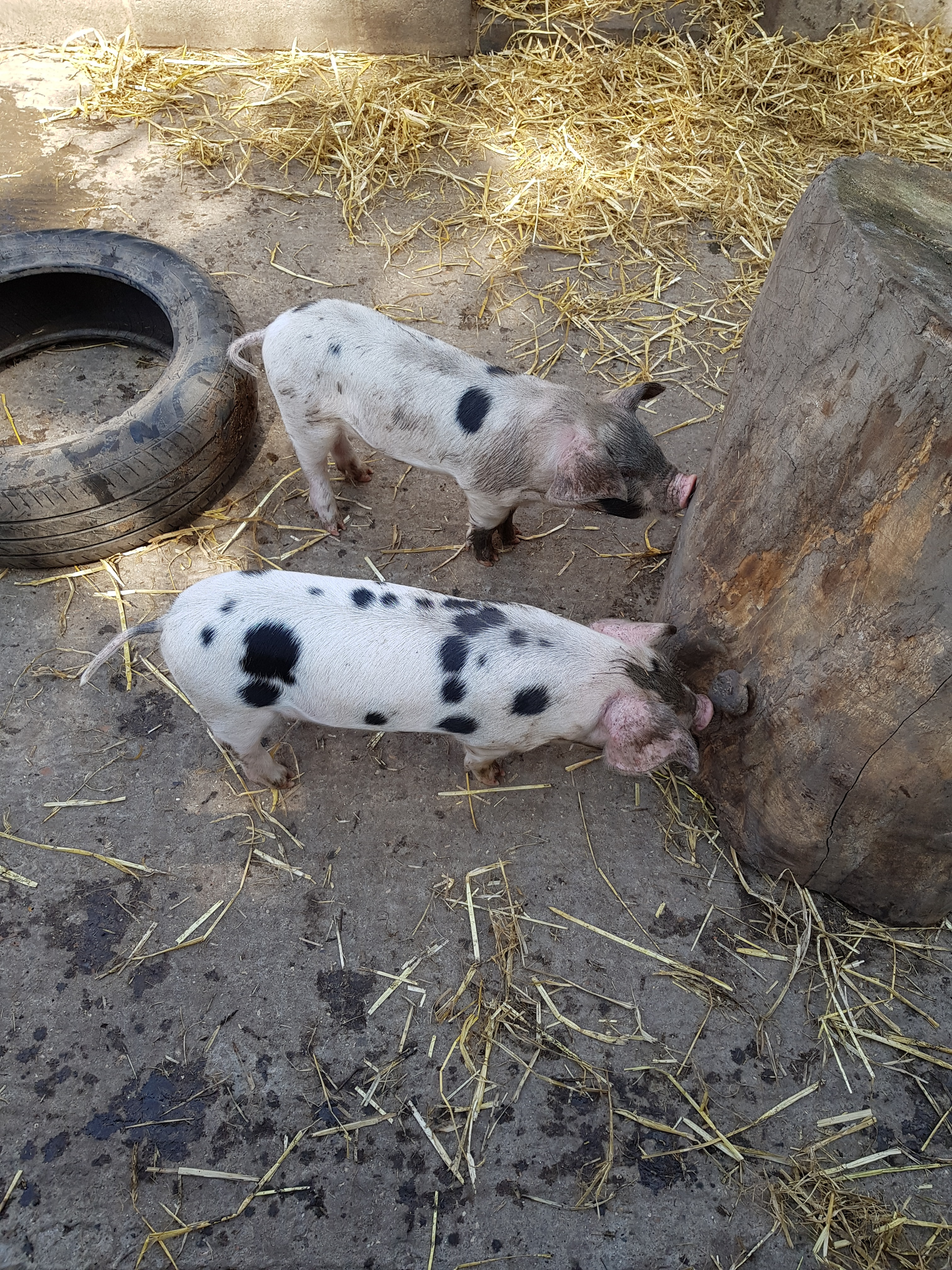 Two cute spotted piglets sniff a stump in a muddy pig pen