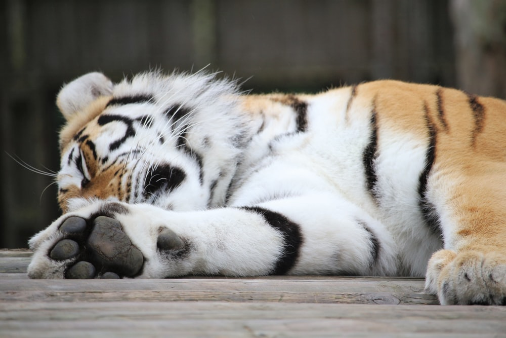 tiger laying on brown surface