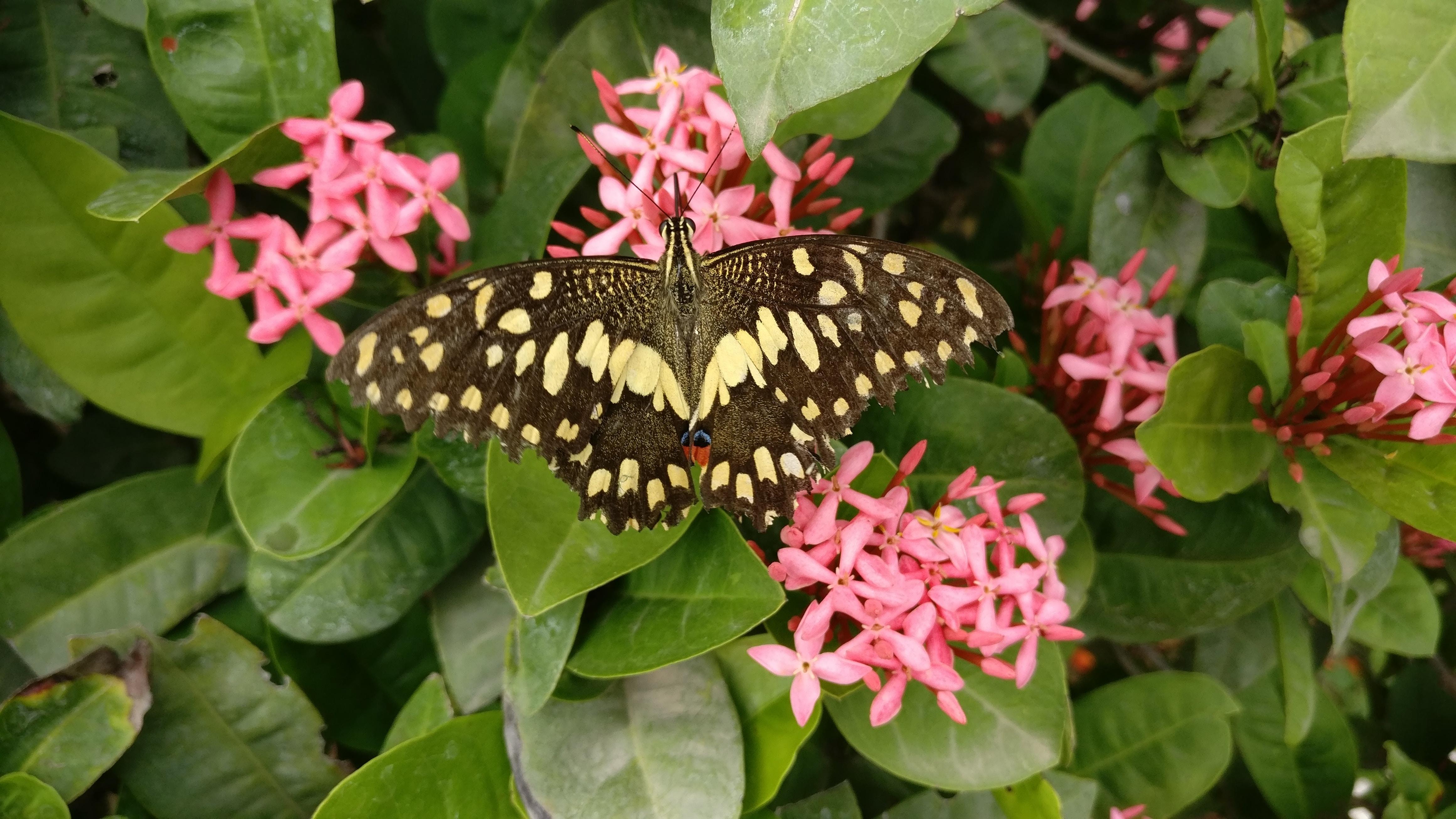 brown moth on pink flowers