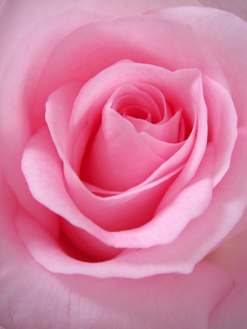 close up photo of pink rose