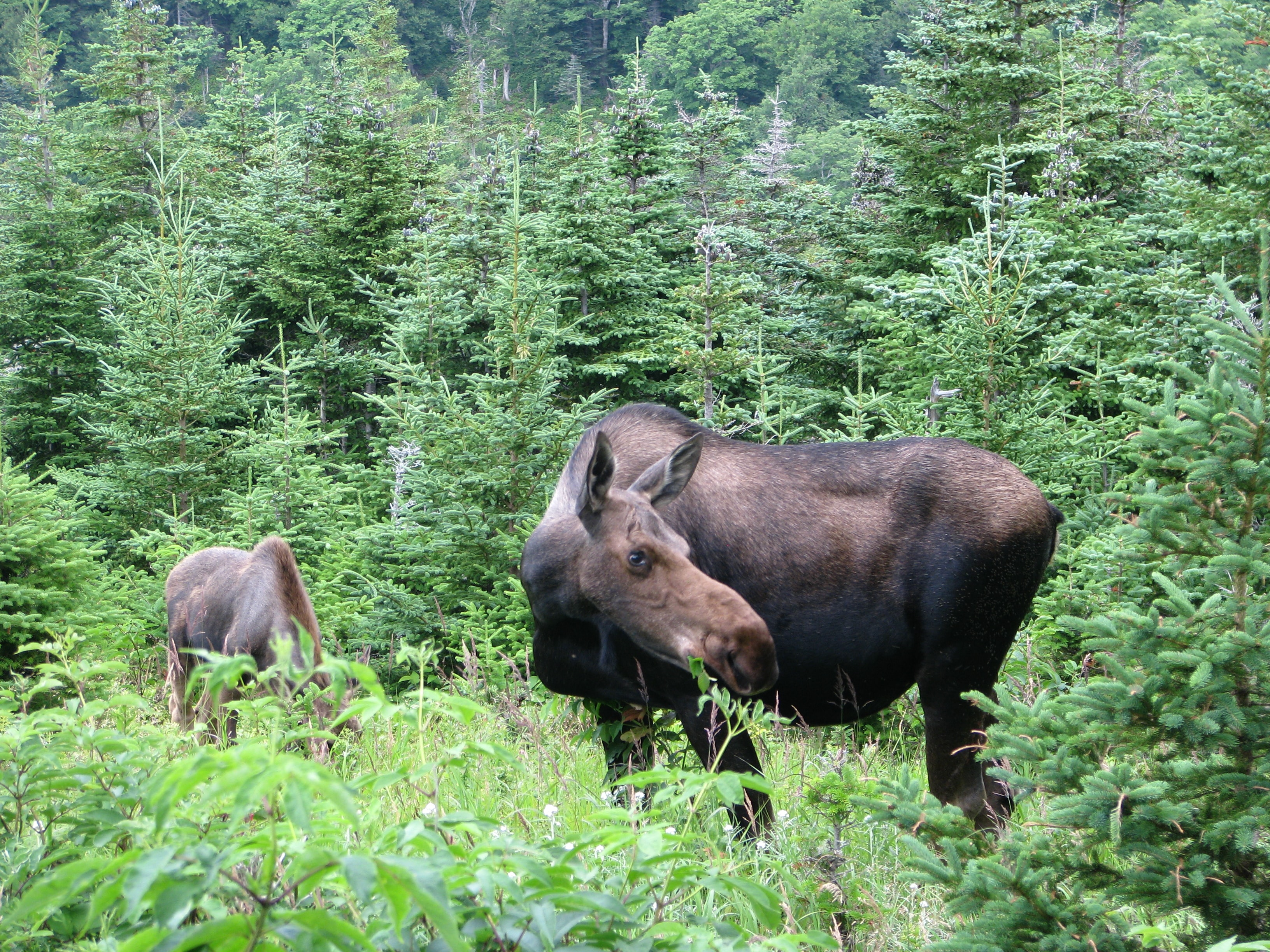 Two wild moose grazing among green forest trees