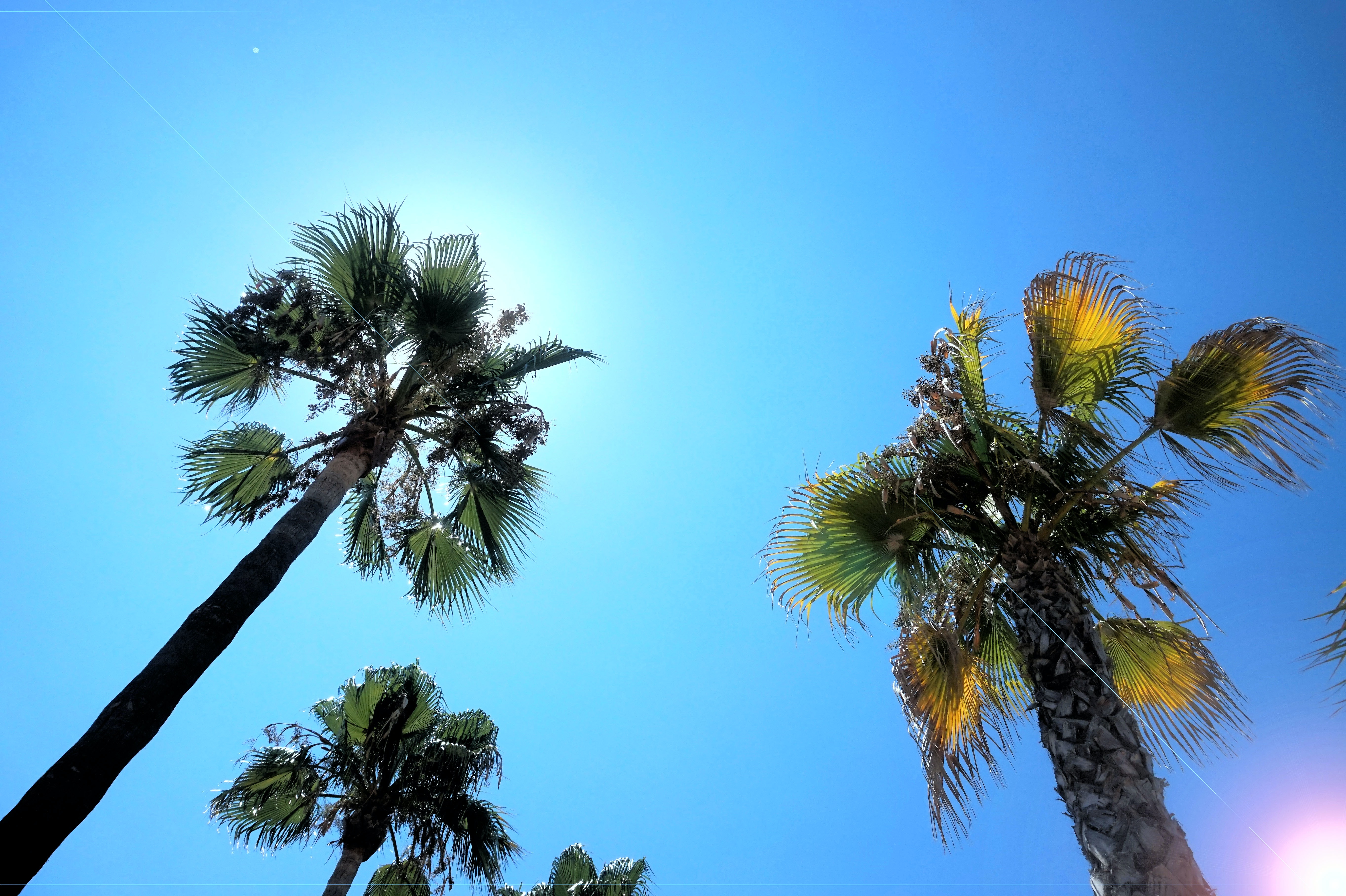 Looking up at a blue sunny sky and tall, green palm trees in Majorca