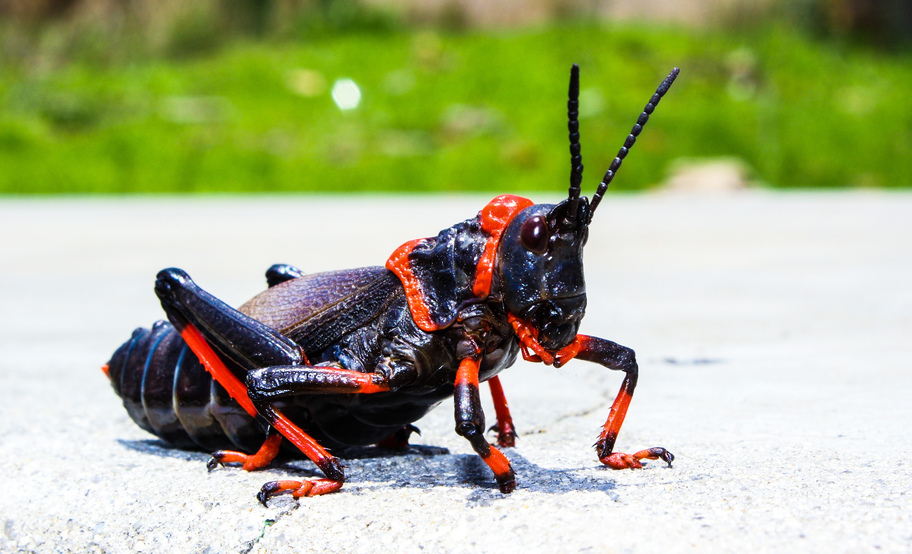 An orange and black grasshopper on a street