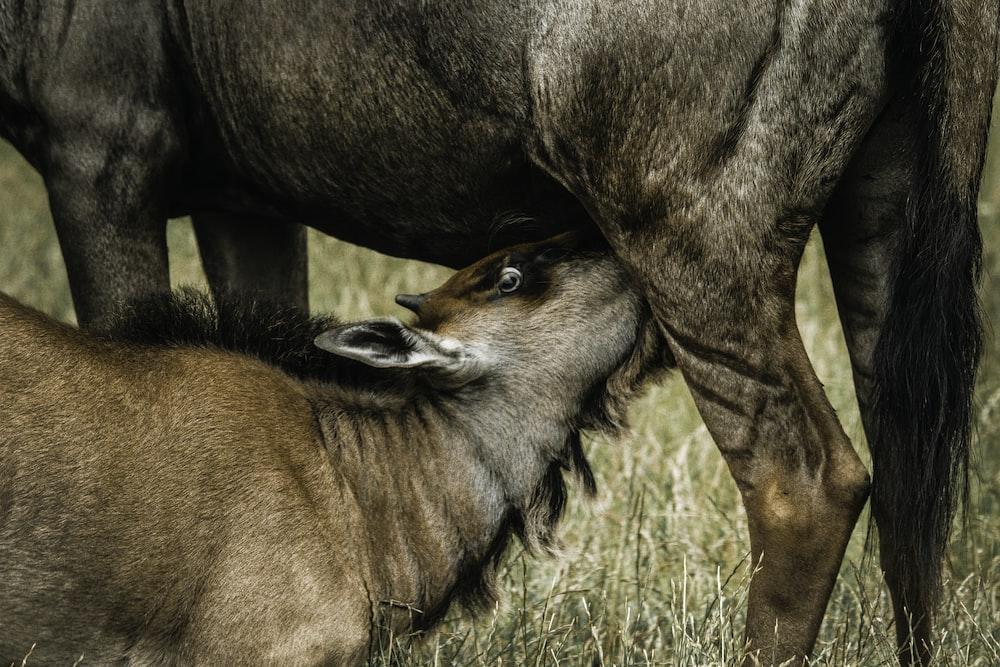 photo of wildebeest drinking milk