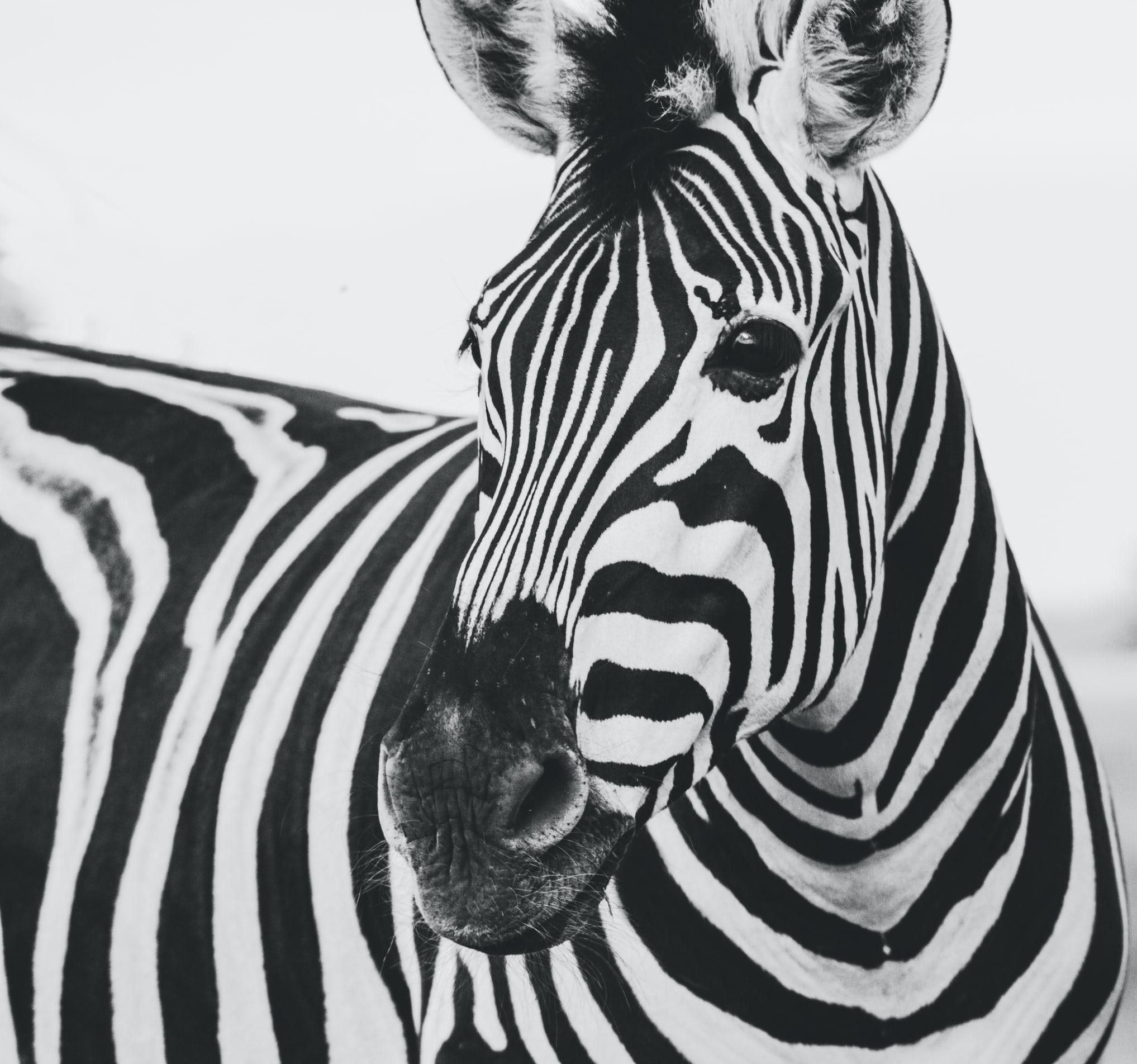 Schwarz-weiß Foto eines Zebras