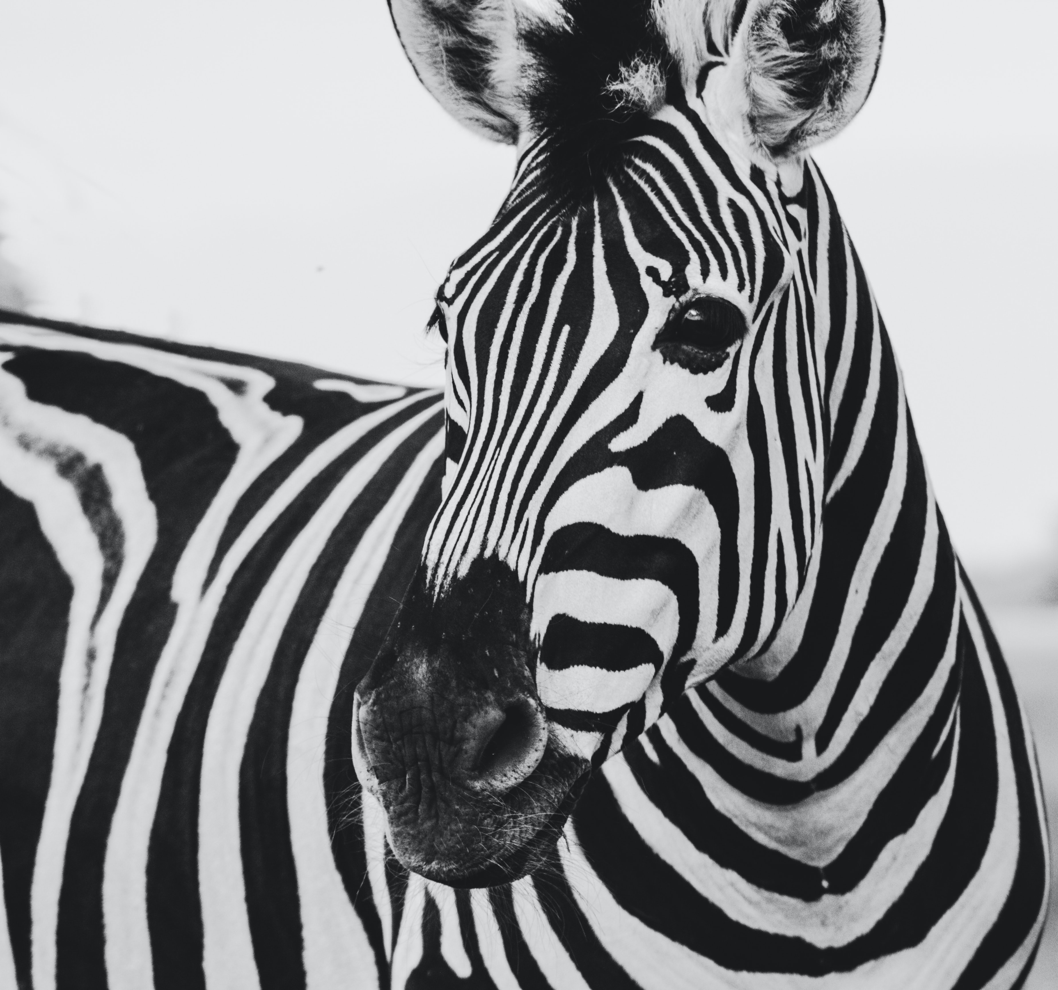 Black and white, striped Zebra in a black and white picture in Knuthenborg Safaripark