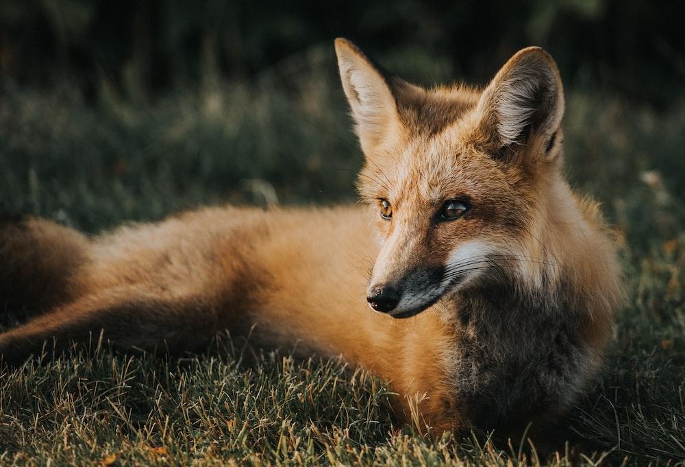 brown fox on ground