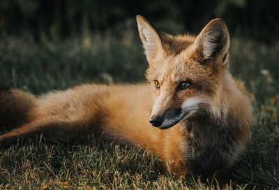 brown fox on ground wild zoom background