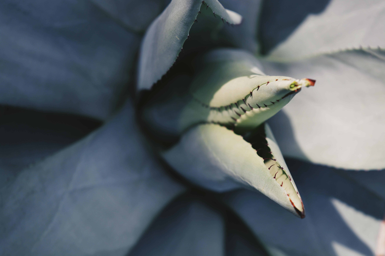 Macro shot of a thorny succulent leaf