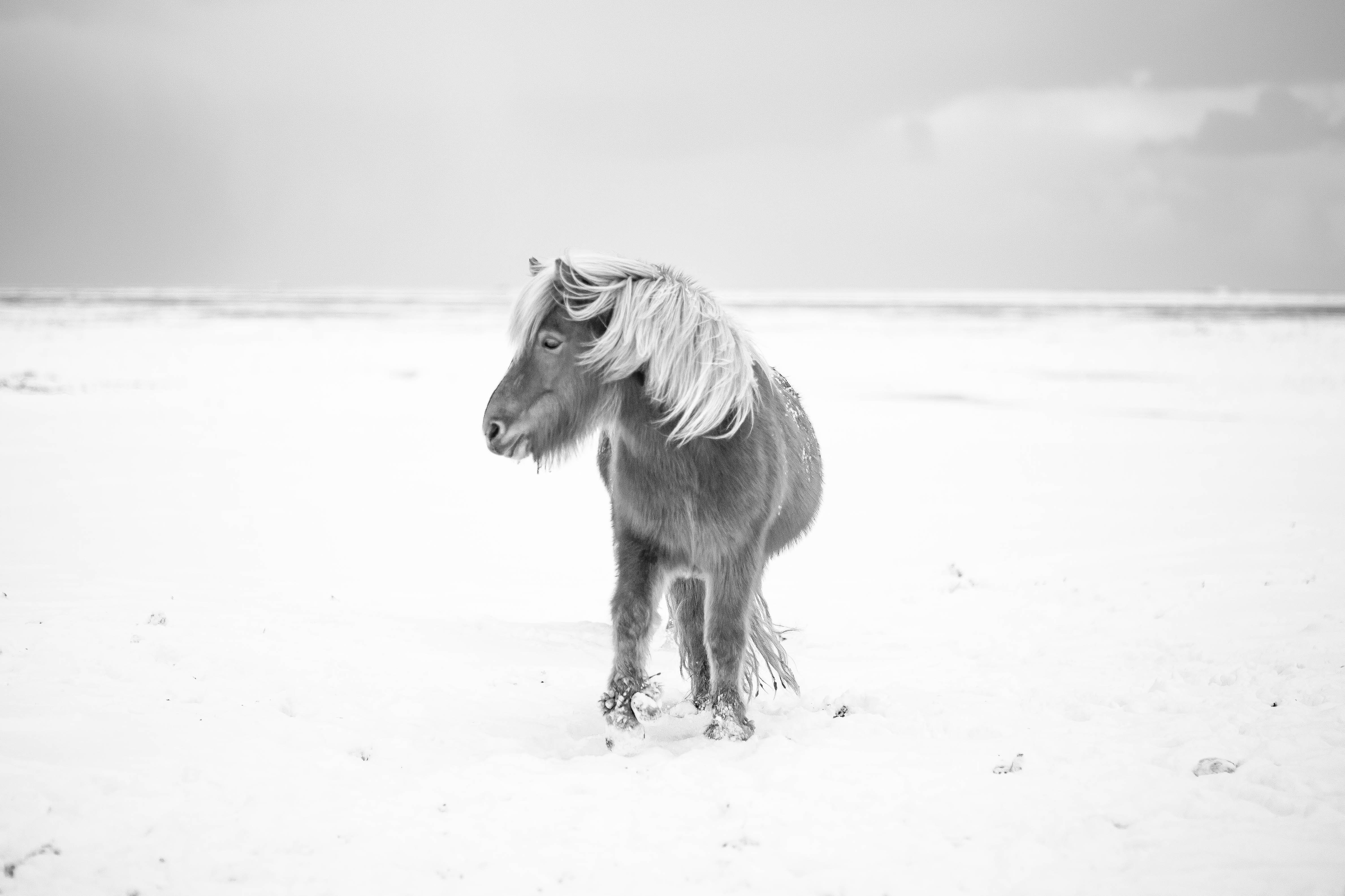 Black and white shot of pony in winter snow with clear sky in Iceland