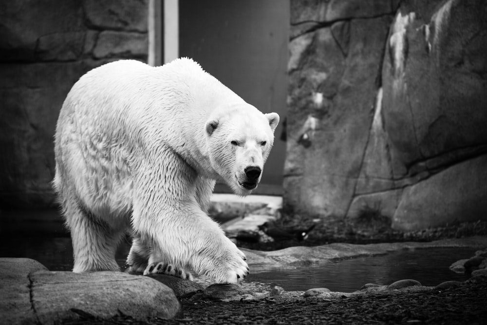 grayscale photography of polar bear