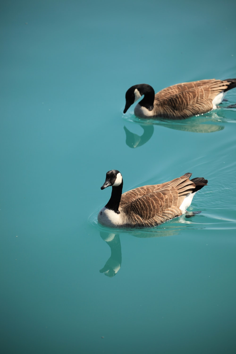 two brown ducks swimming on body of water during daytime