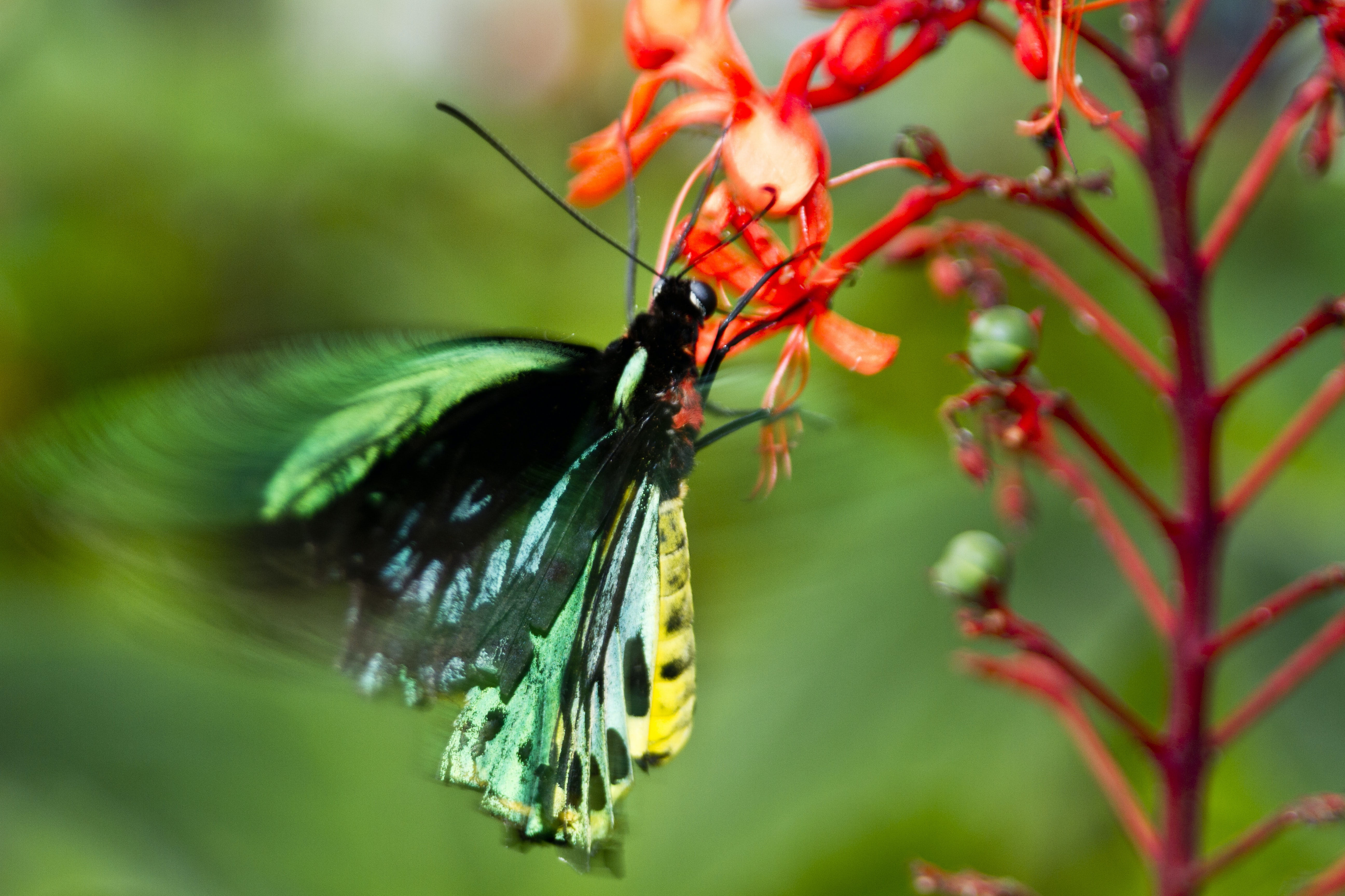 green butterfly on red flower