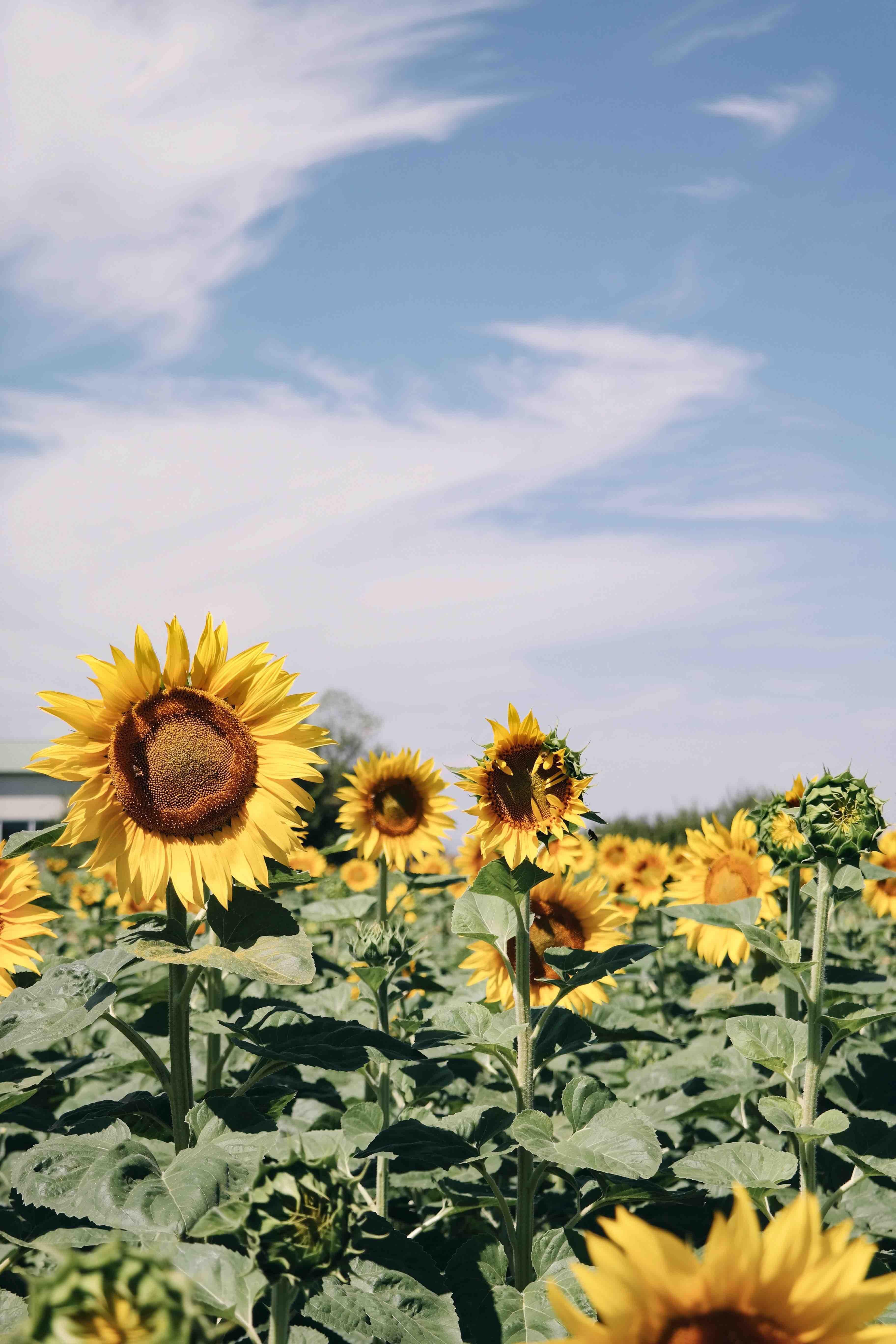 sunflower field under blue skies