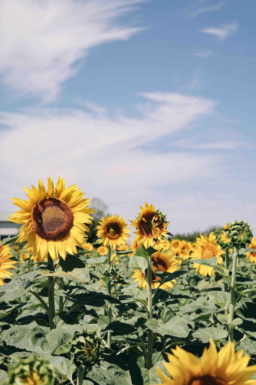 Sunflower Field Under Blue Skies Photo Free Flower Image On Unsplash