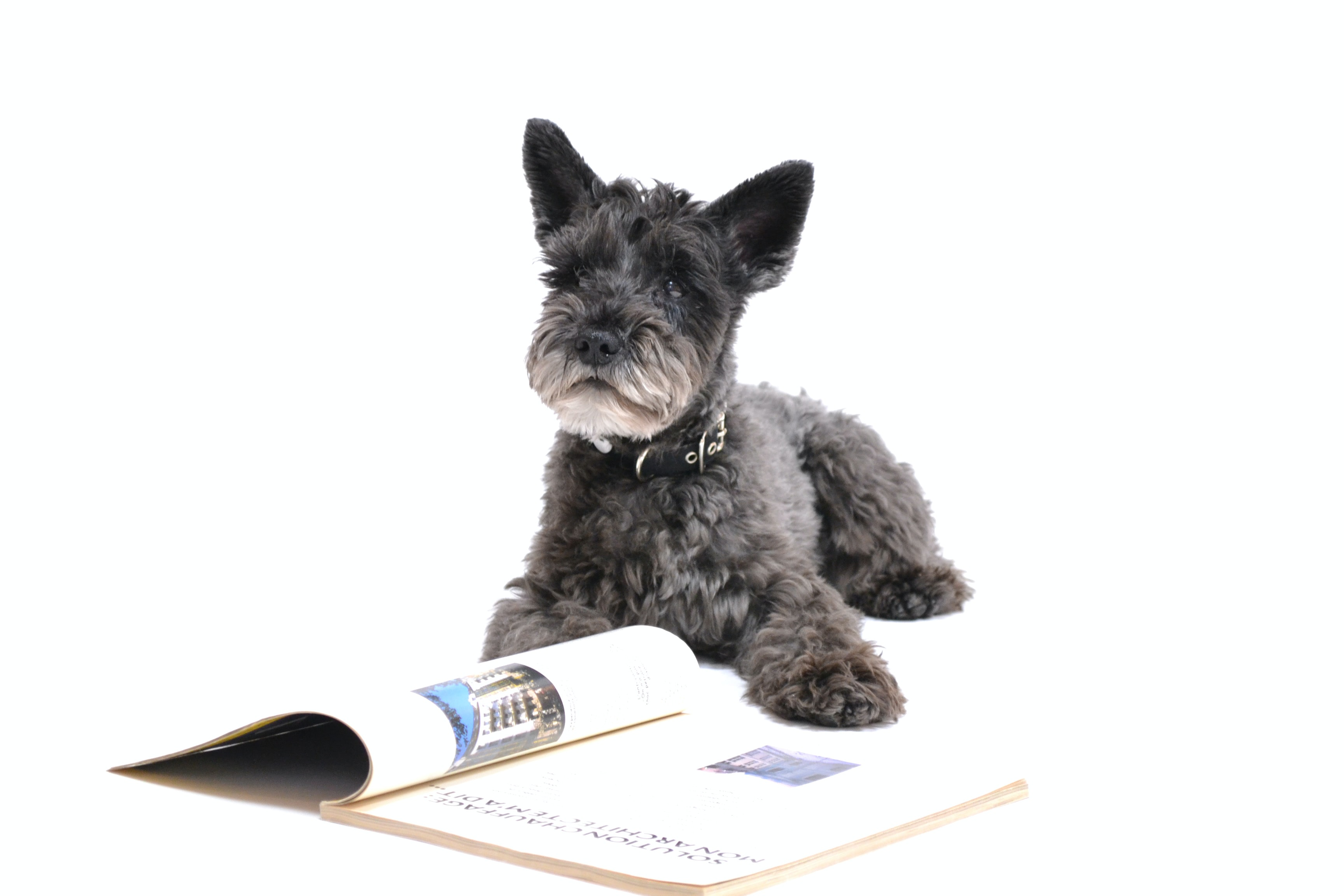 long-coated gray dog