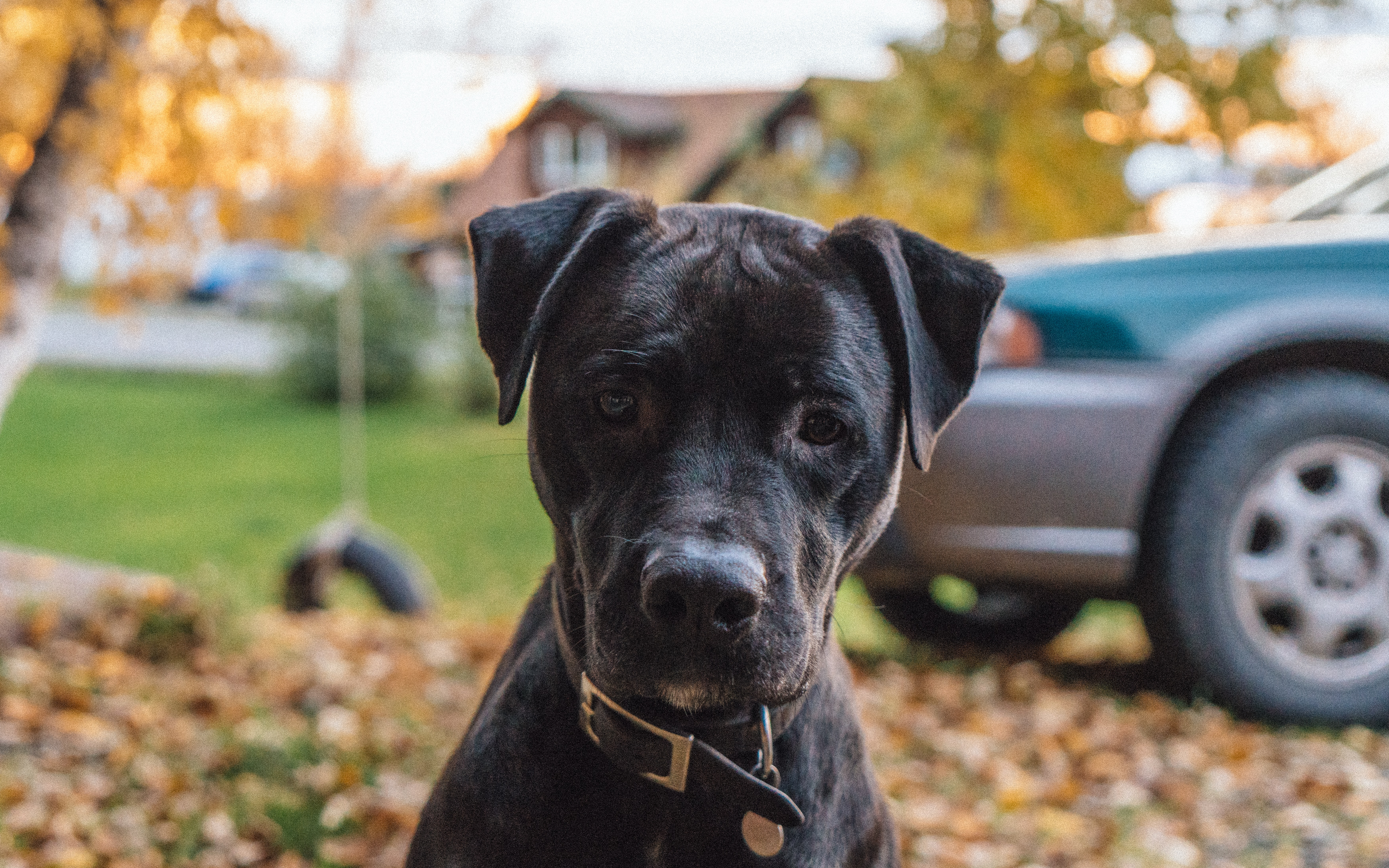 sitting black Retriever puppy on grass field with withered leaf