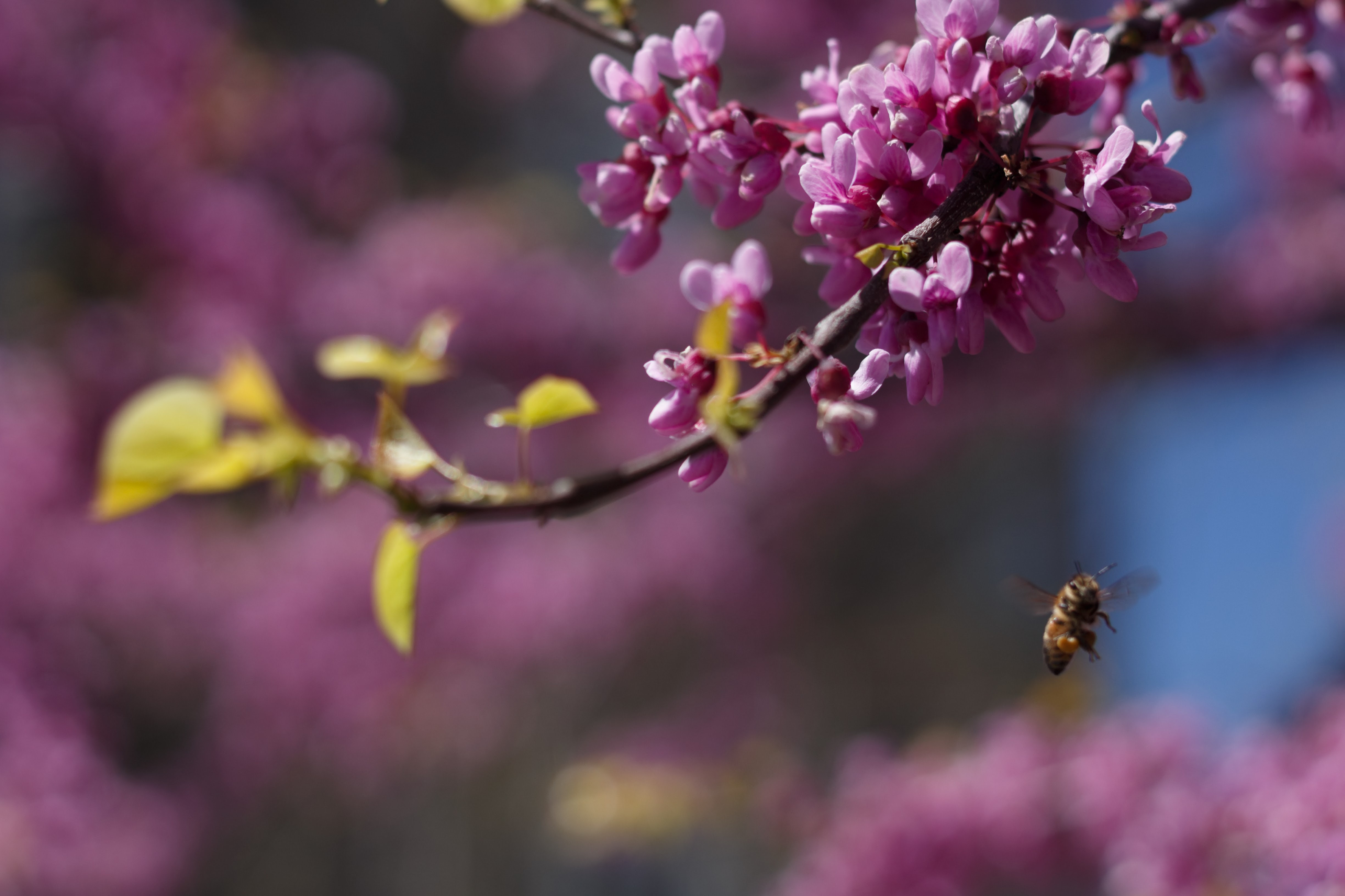 brown bee near cherry blossom plant selective focus photo
