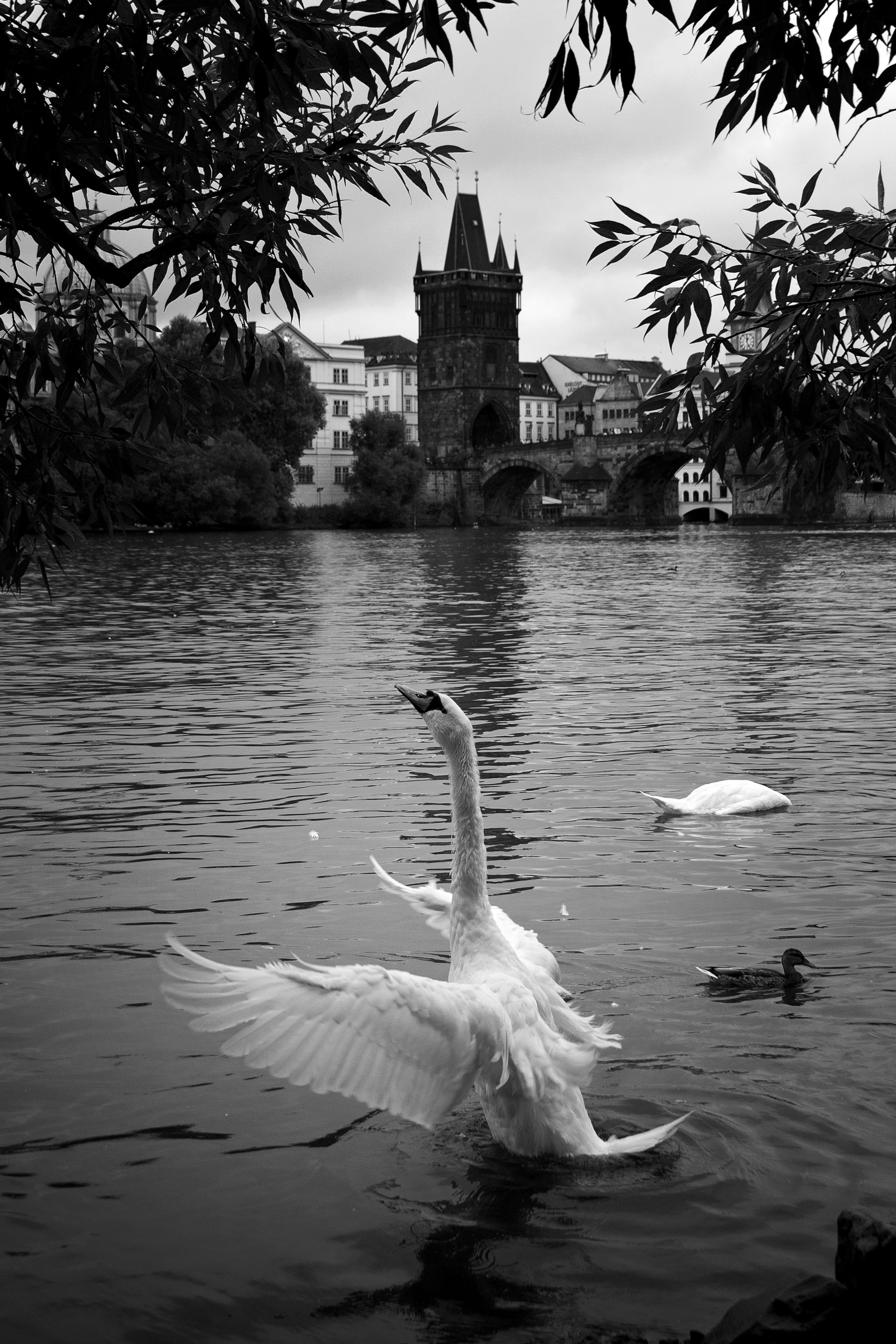 grayscale photography of mute swan on water near other swan and duck in distant of tower near buildings