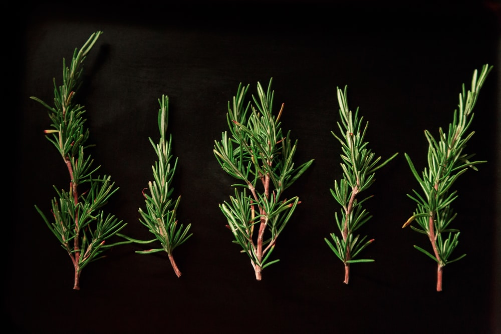 five green pine twigs