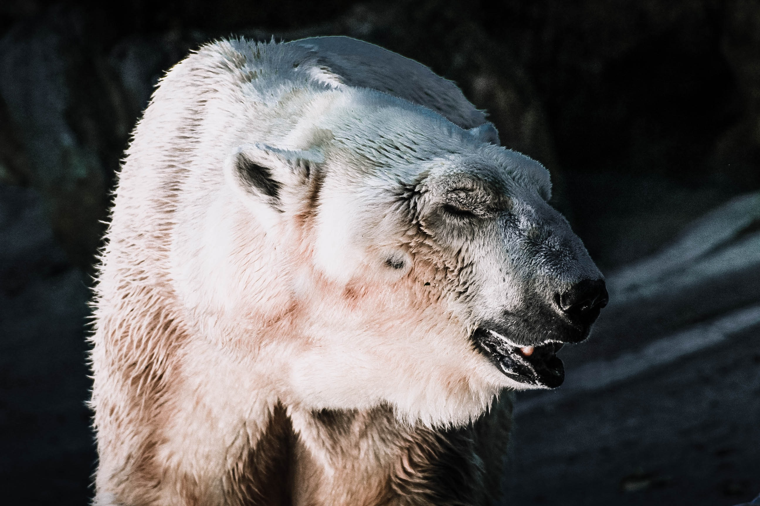 Polar bear with half-closed eyes and wet fur in a dark cave in Bronx Zoo